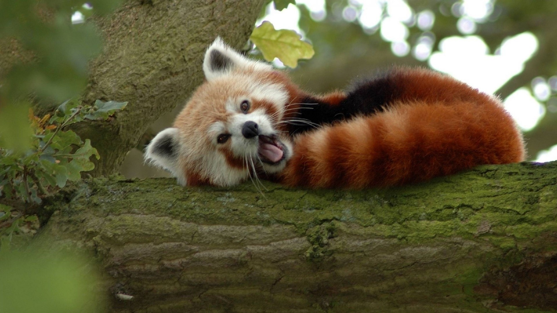 Red Panda a wallpaper