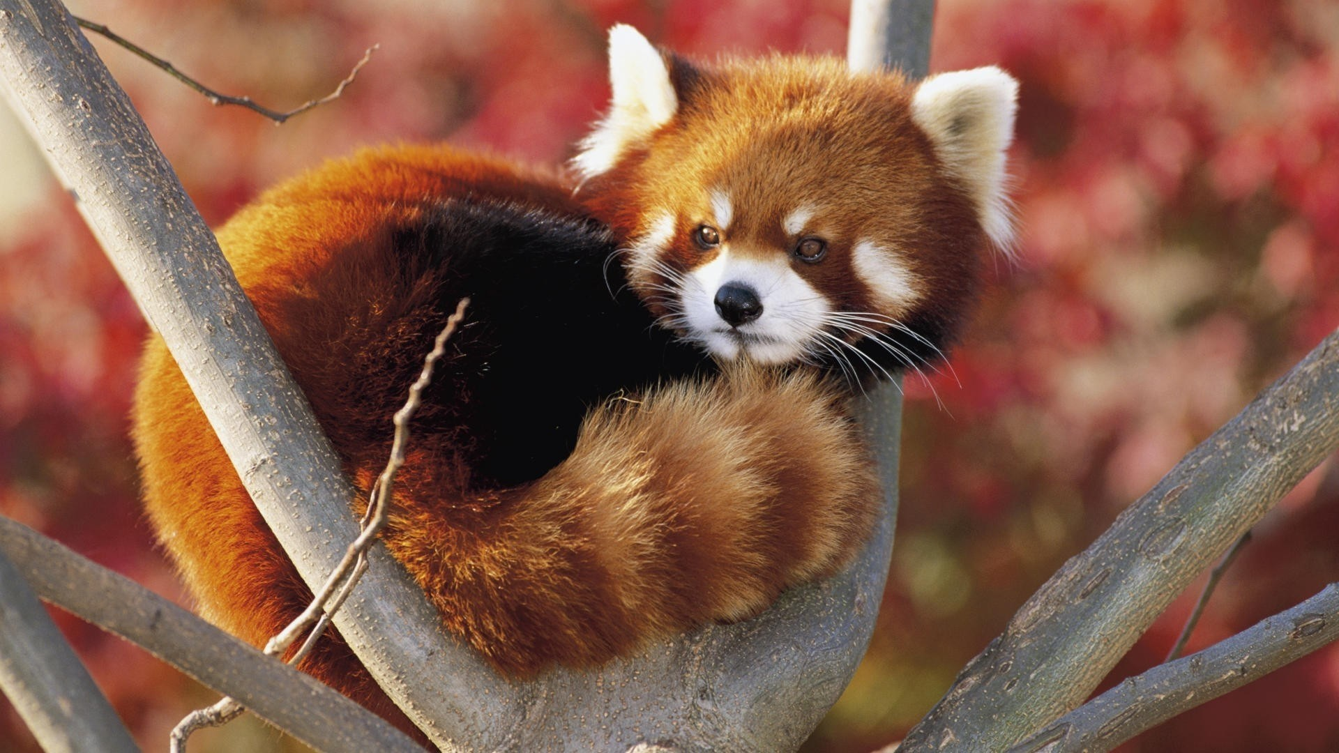 Red Panda wallpaper photo hd