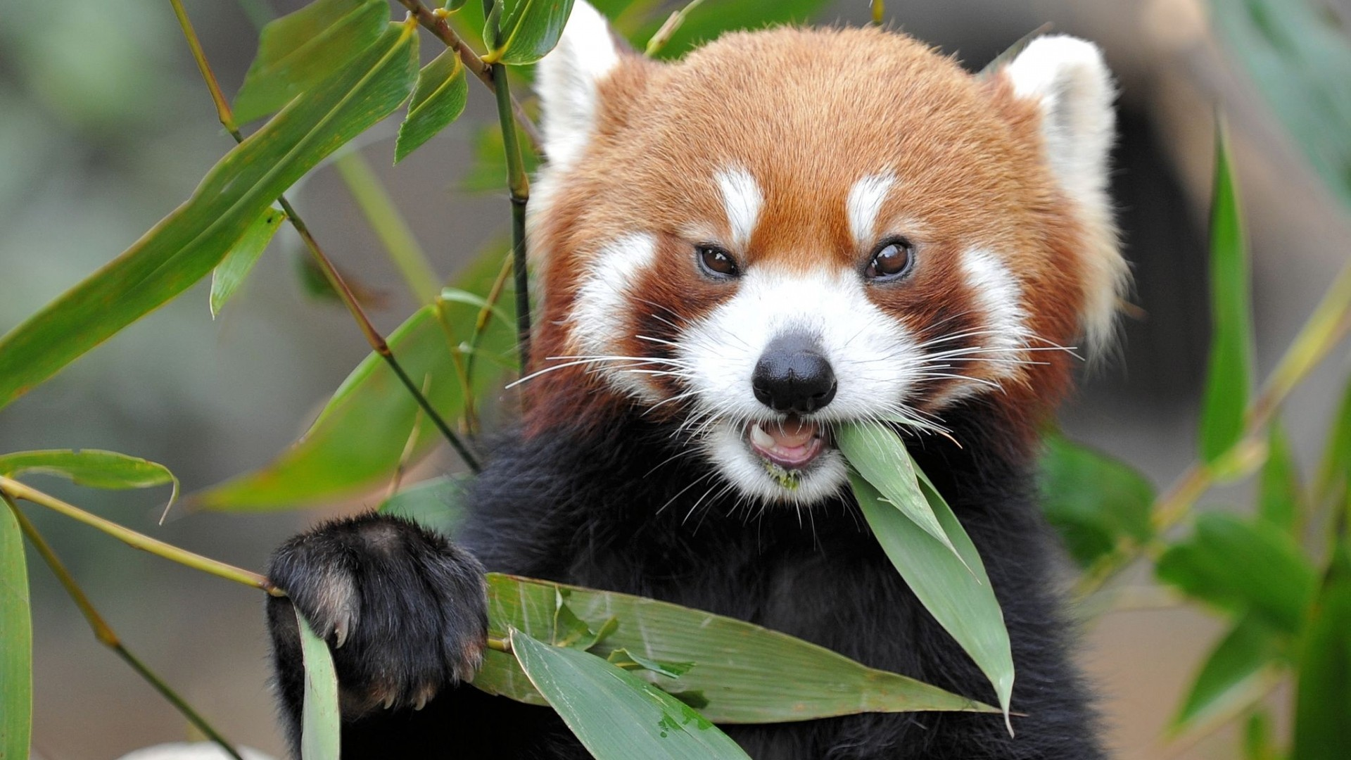 Red Panda Full HD Wallpaper