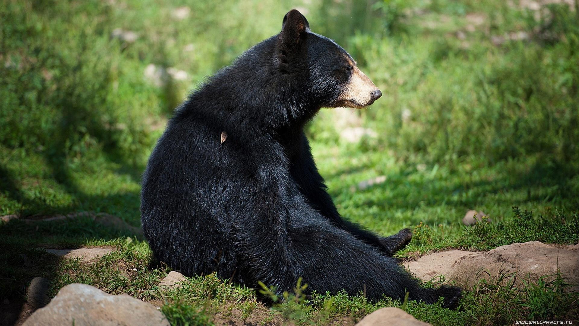Black Bear Wallpaper image hd