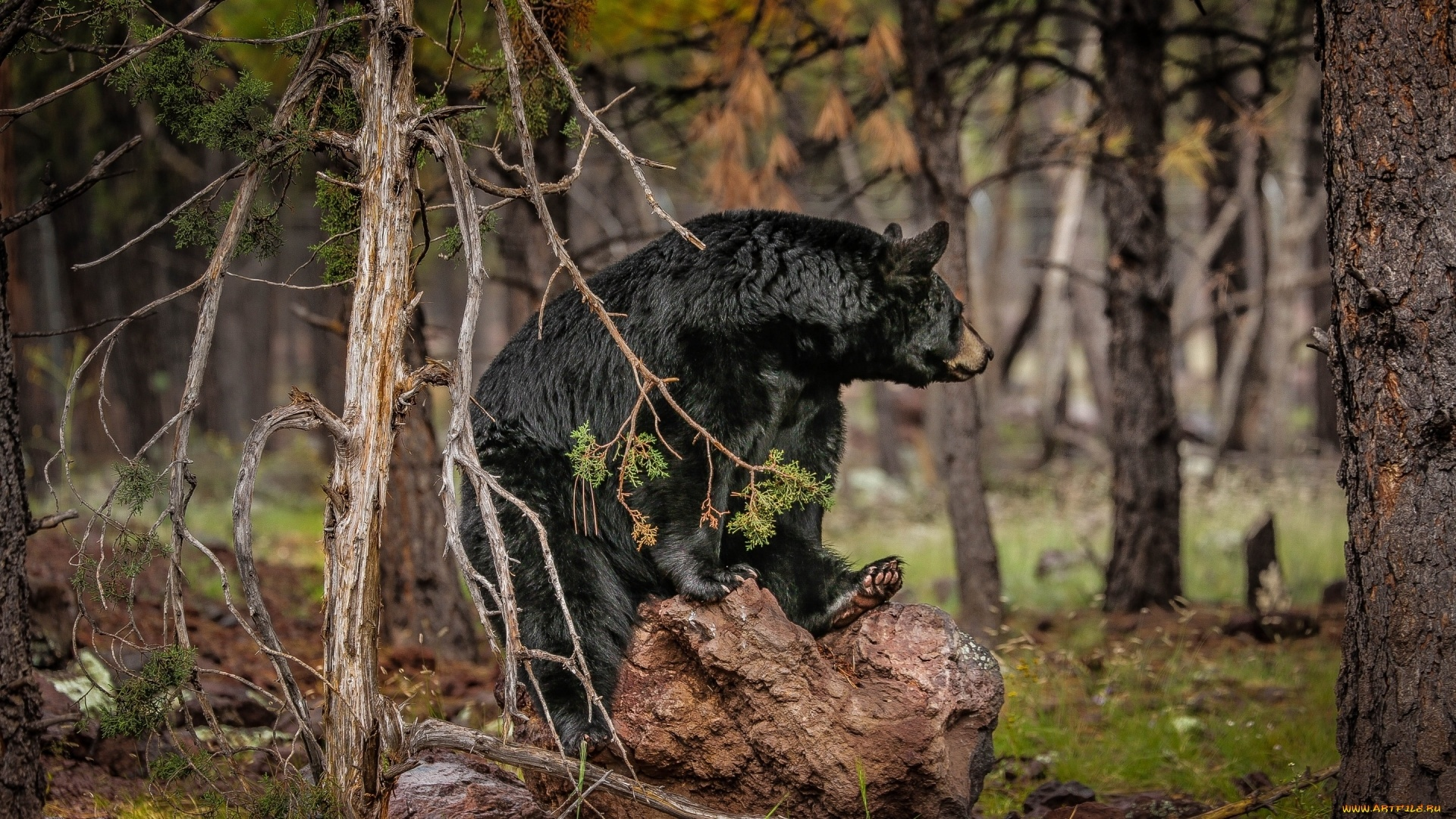 Black Bear Wallpaper and Background