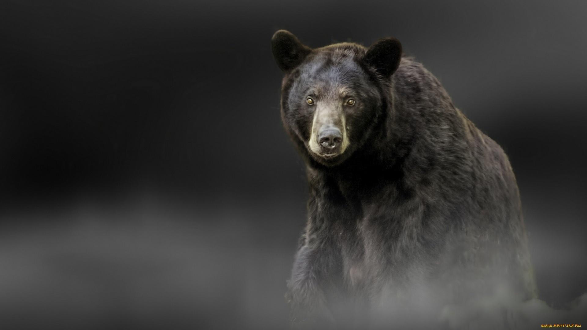 Black Bear Desktop Wallpaper