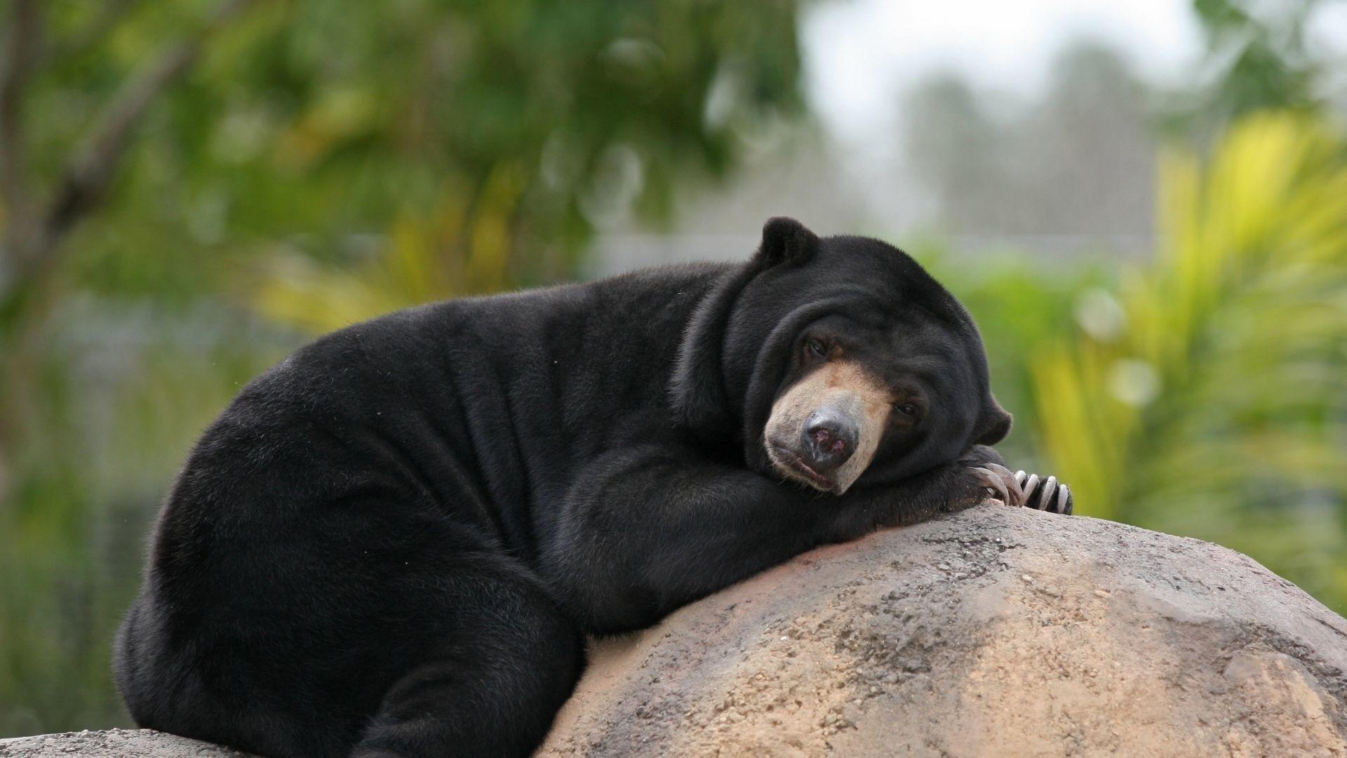 Black Bear High Quality