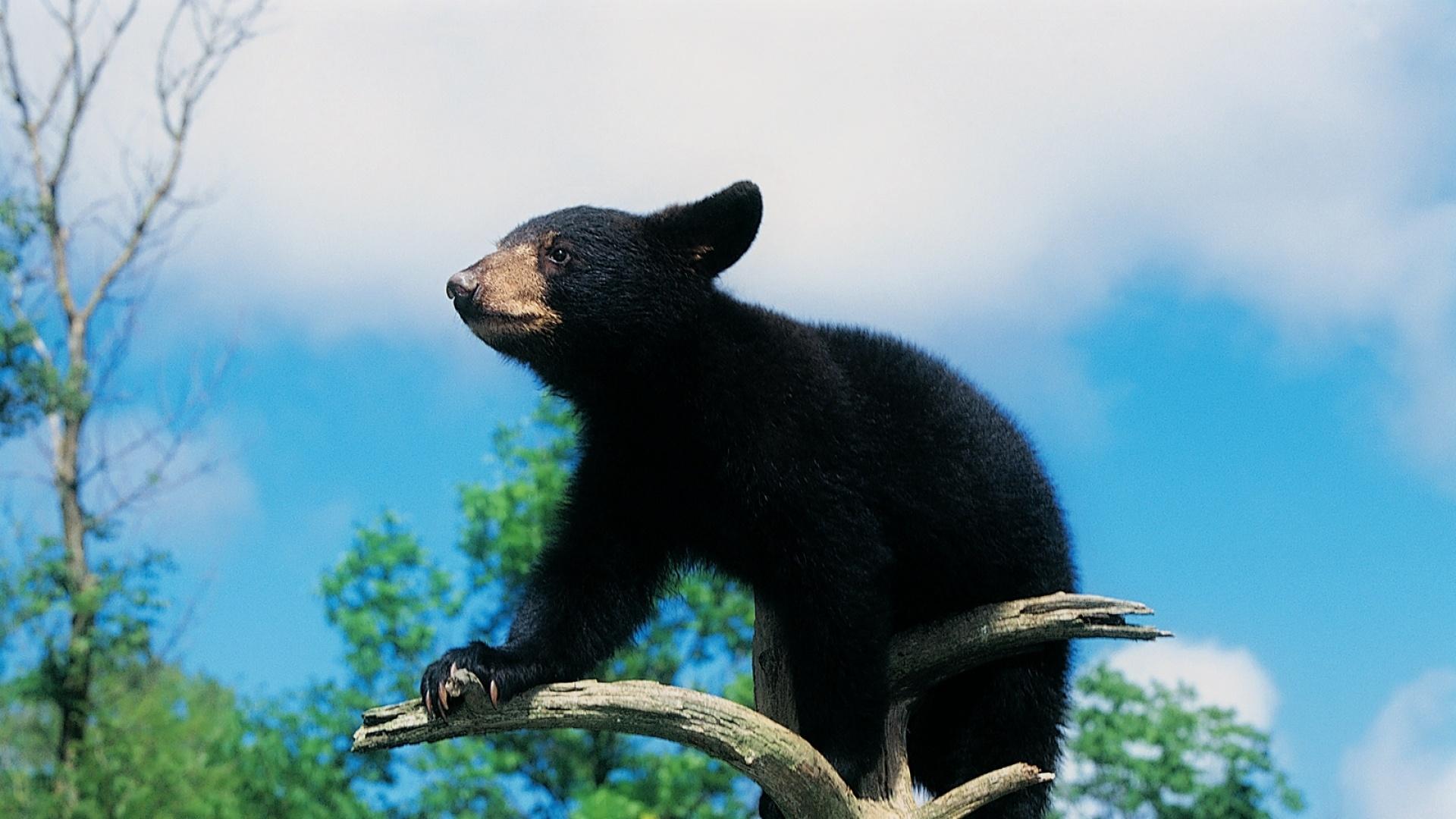 Black Bear hd desktop wallpaper