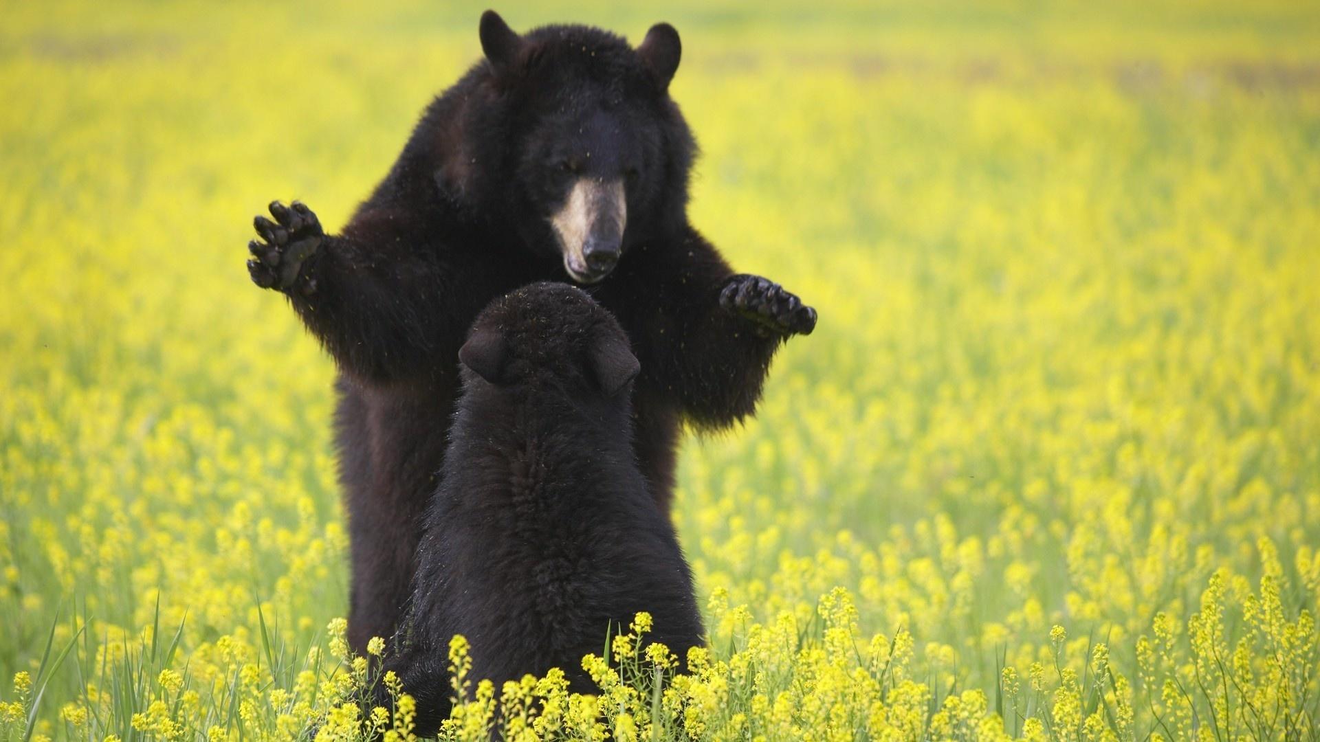Black Bear Wallpaper theme