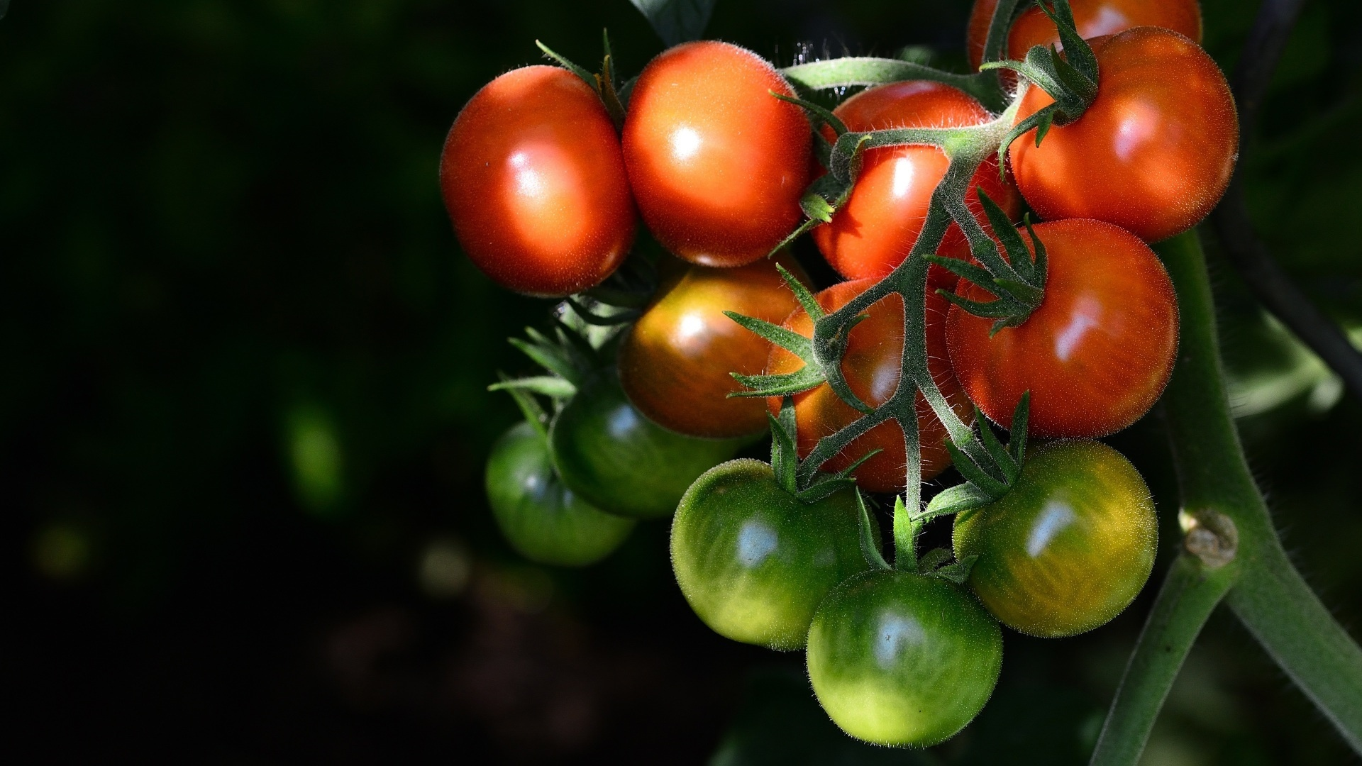 Tomatoes hd wallpaper download