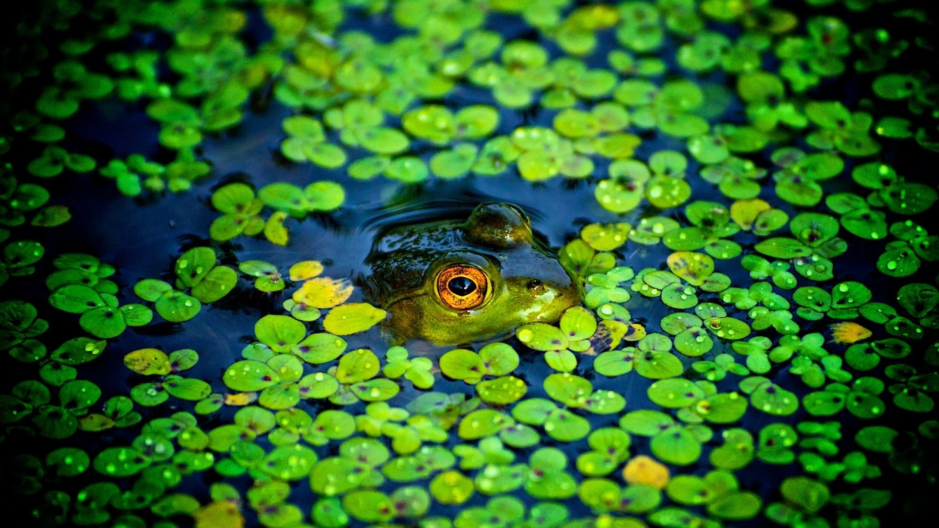 Frog Wallpaper image hd