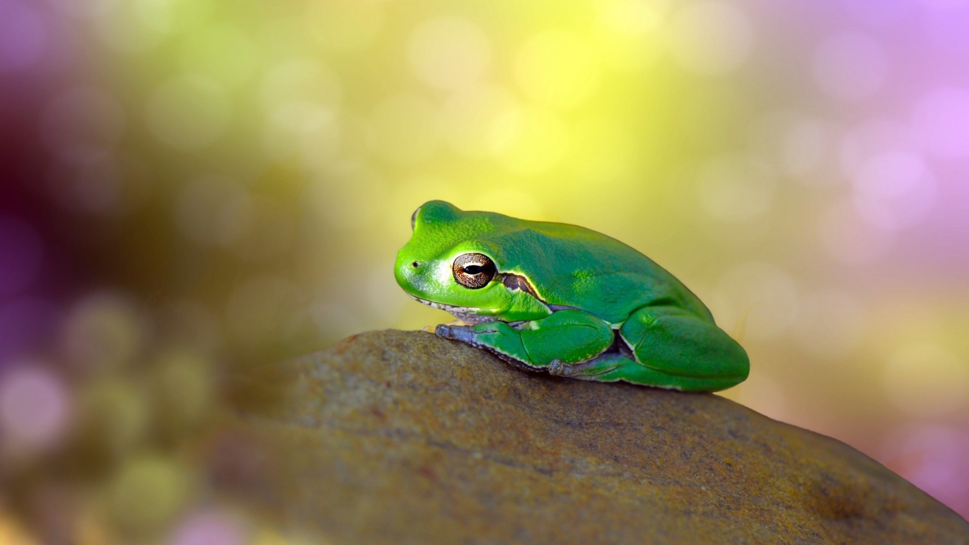 Frog Free Wallpaper and Background