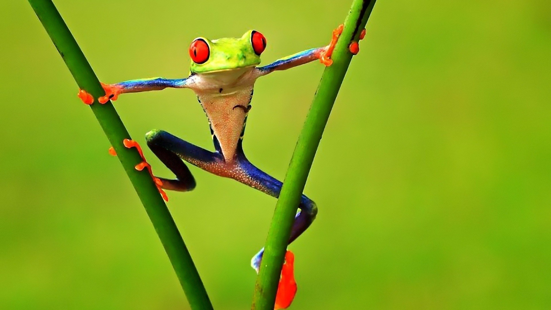 Frog Wallpaper for pc