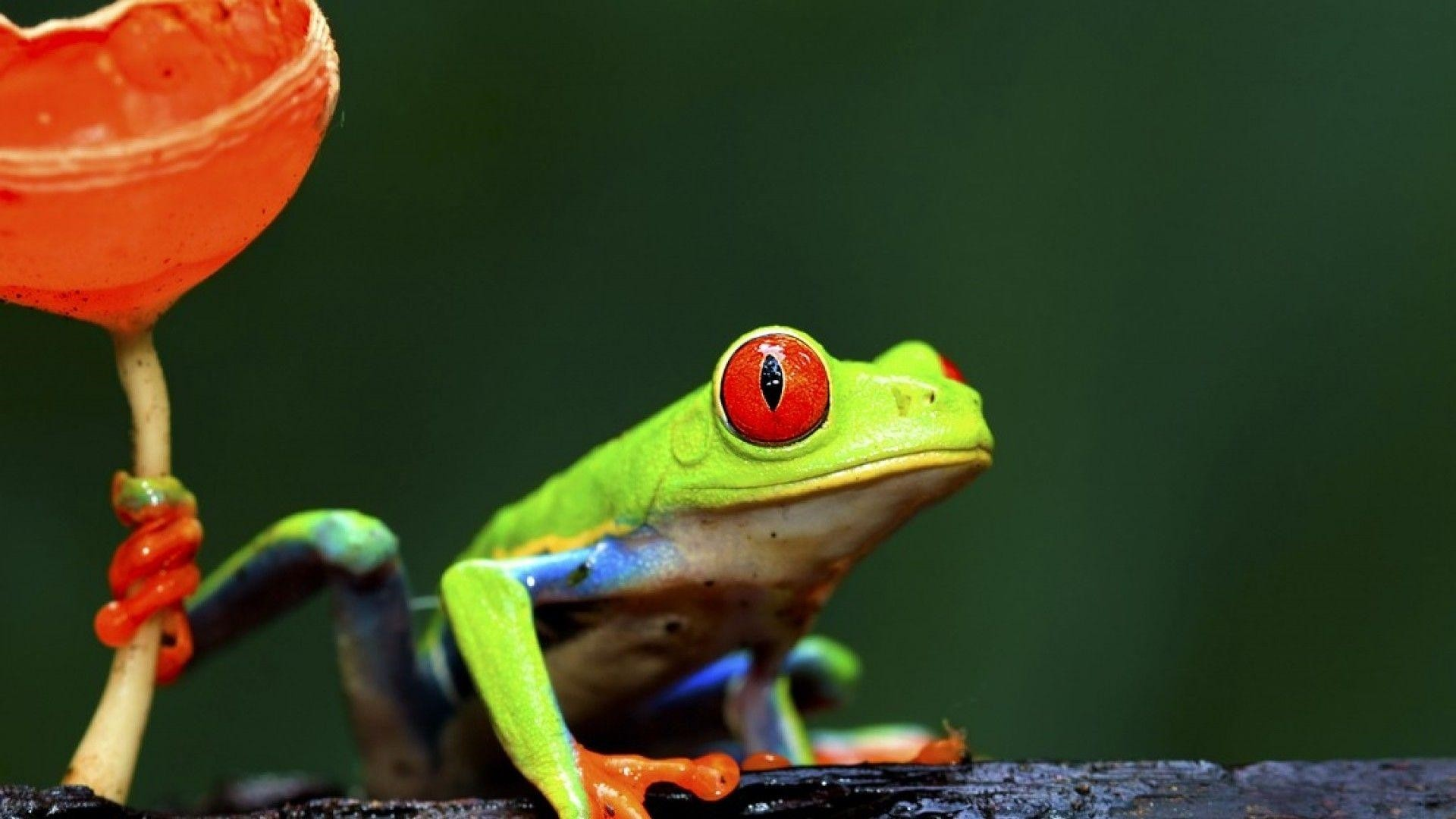 Frog Wallpaper and Background