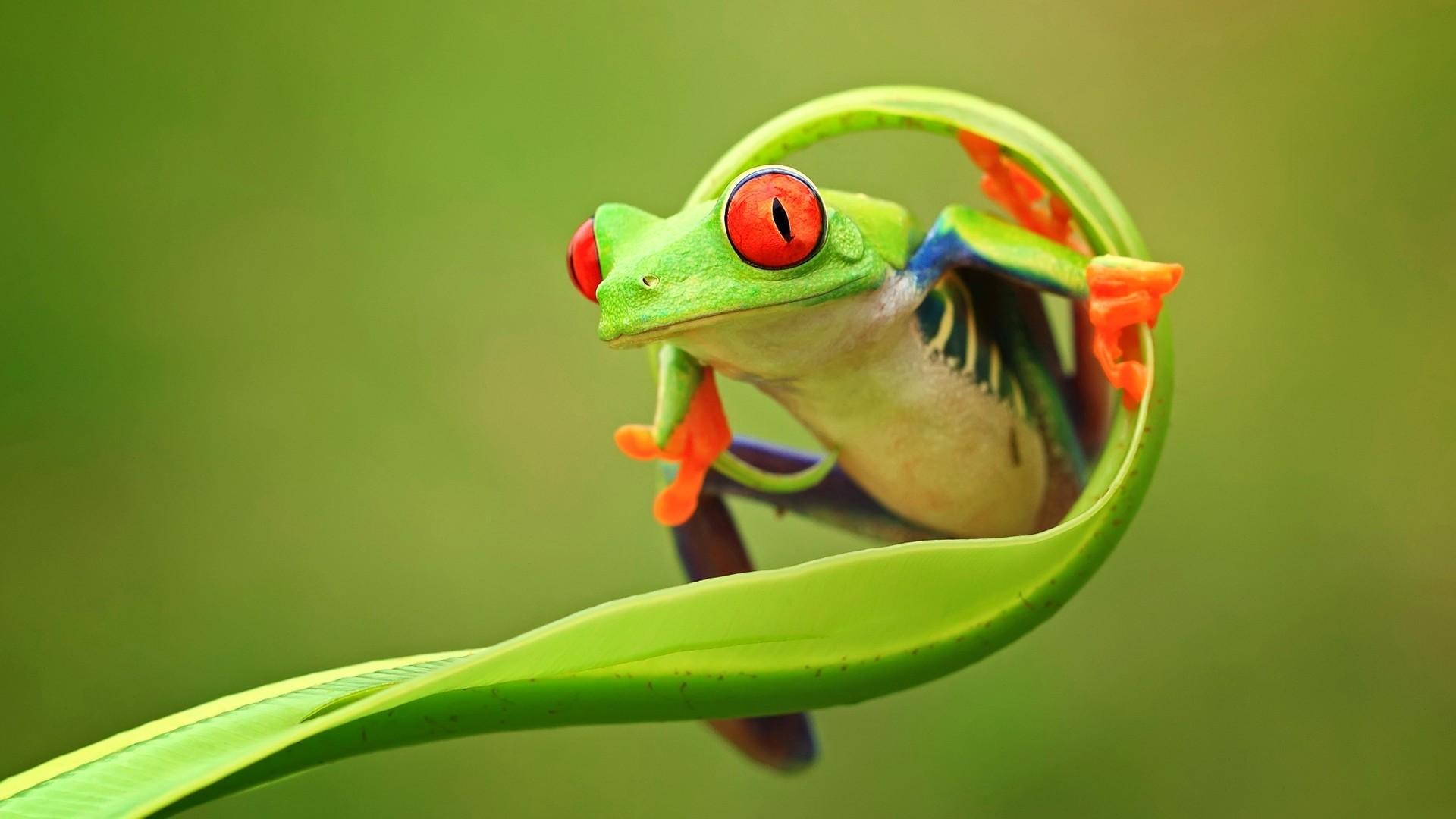 Frog hd wallpaper download