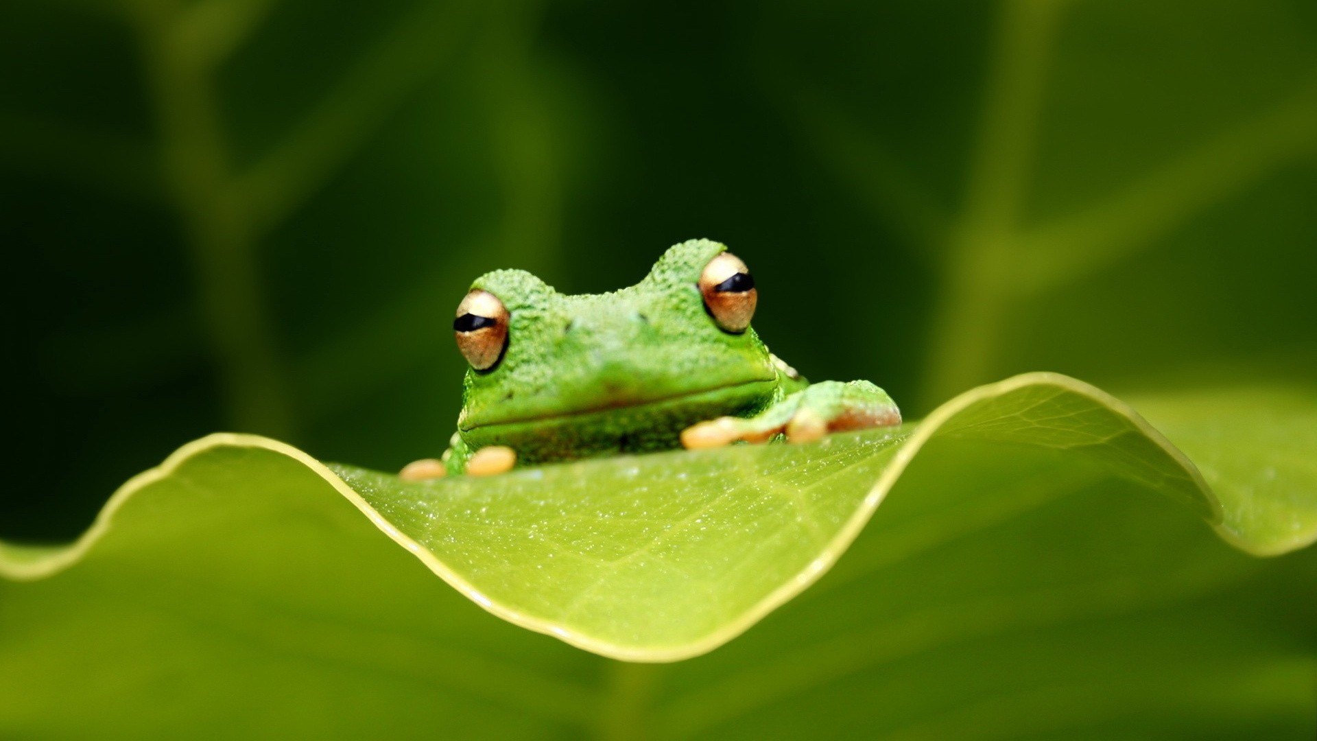 Frog HD Wallpaper