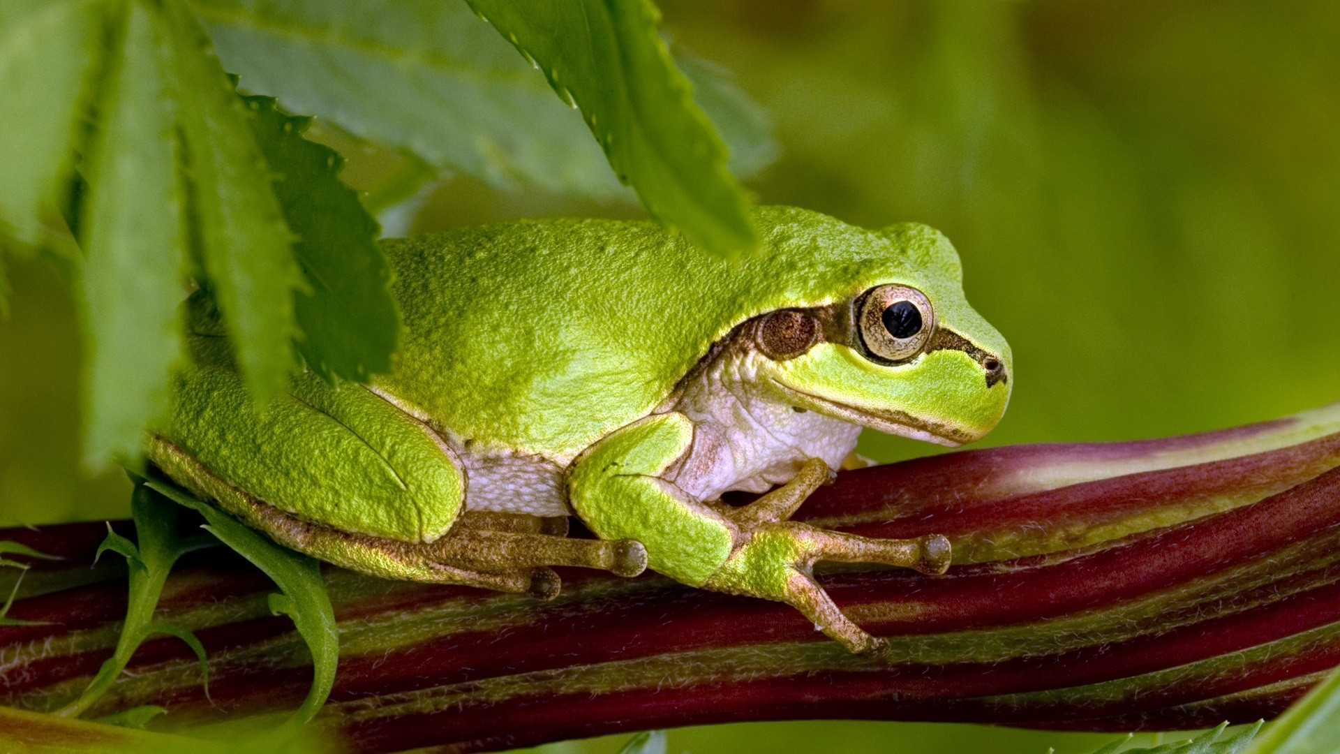 Frog PC Wallpaper HD