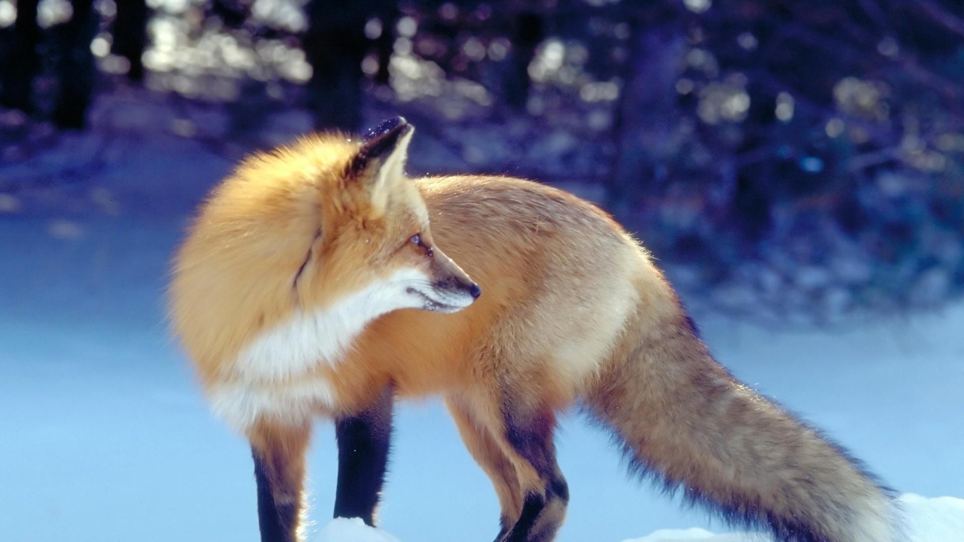 Winter Fox wallpaper photo hd