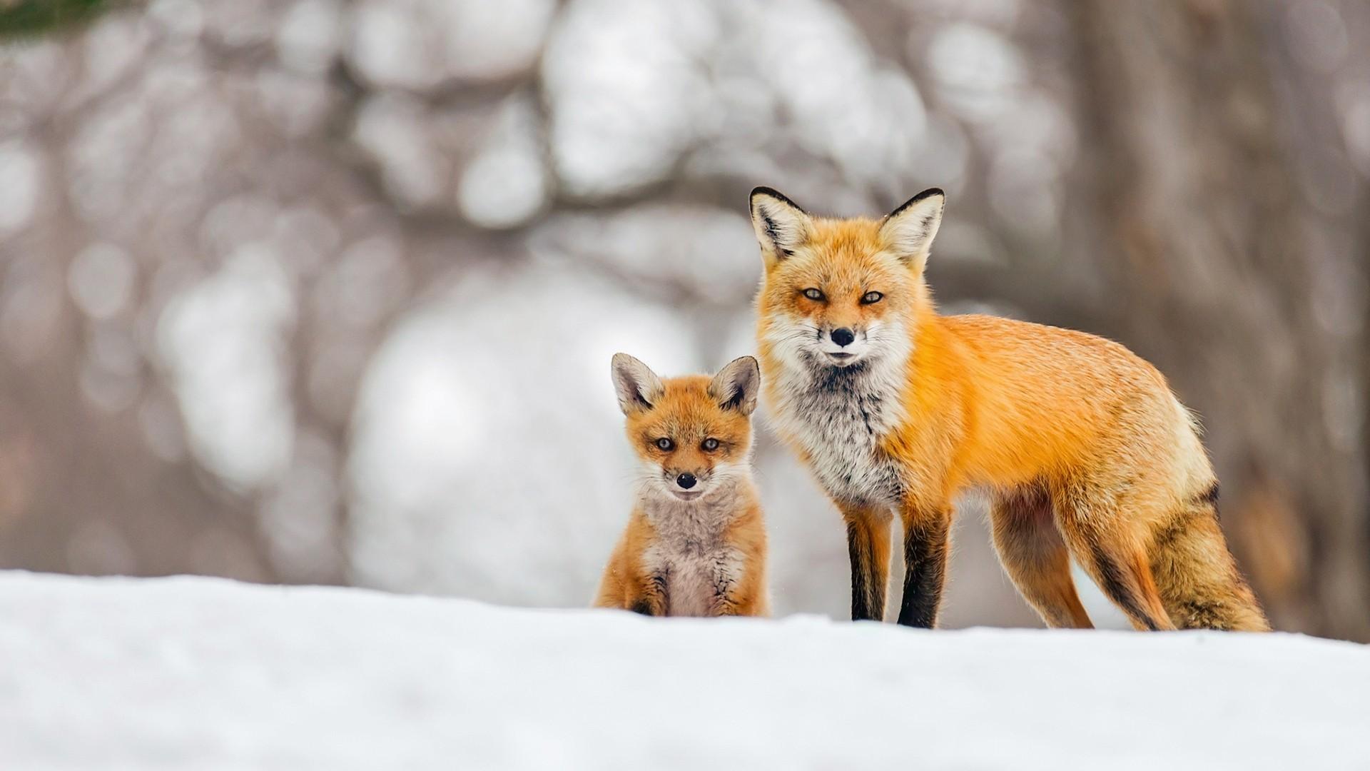 Winter Fox Picture