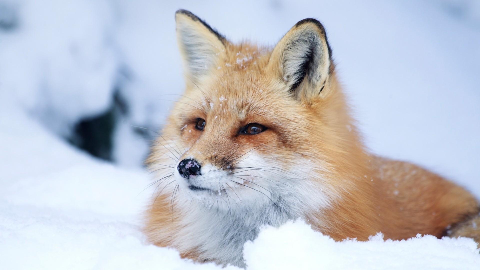 Winter Fox PC Wallpaper HD