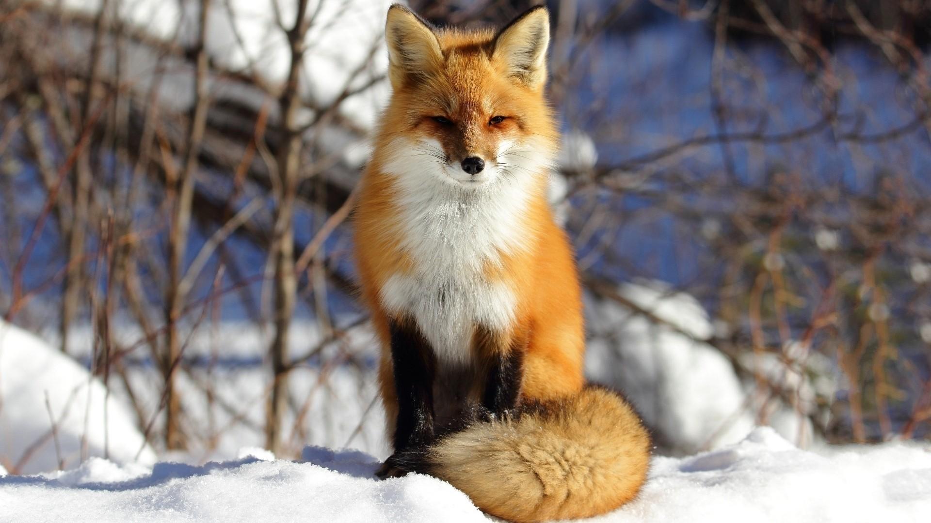 Winter Fox Free Wallpaper