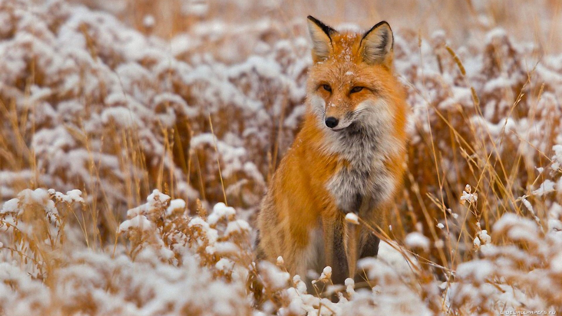 Winter Fox PC Wallpaper
