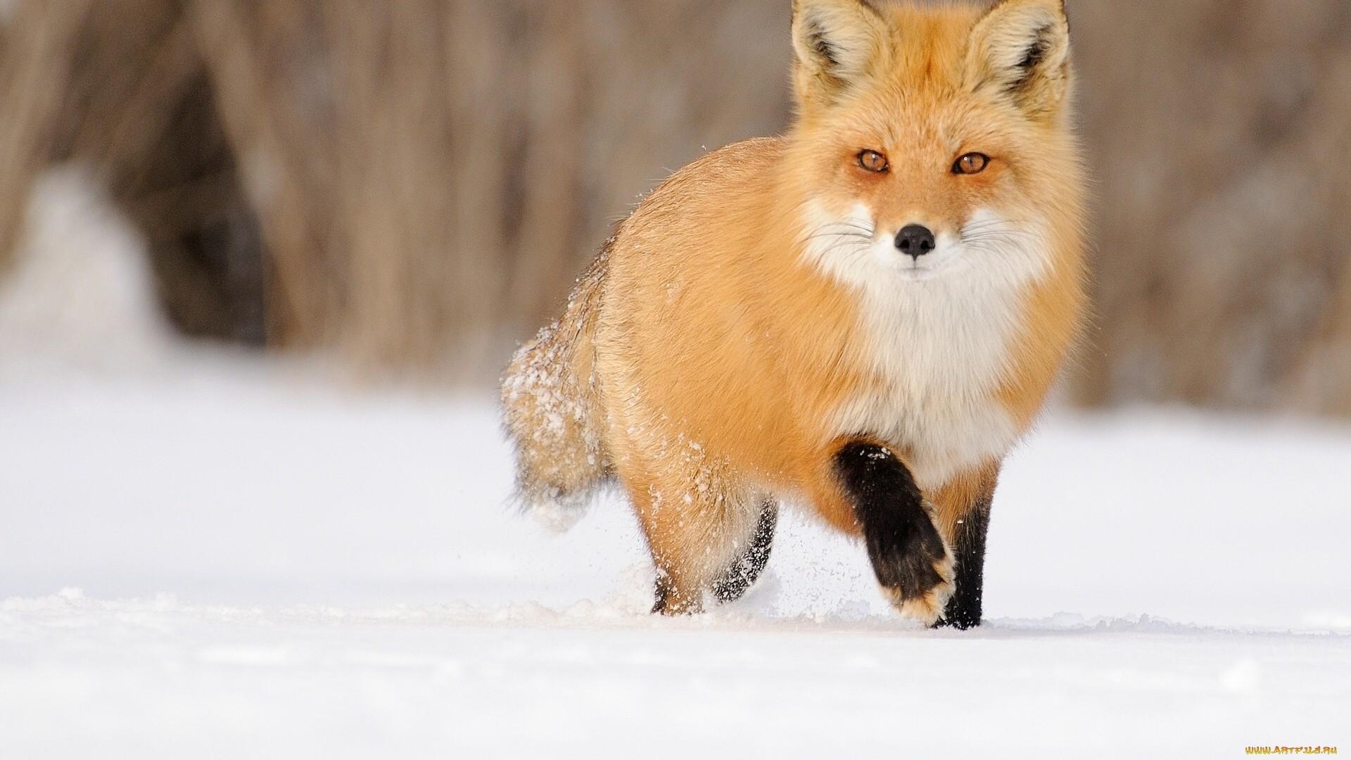 Winter Fox computer wallpaper