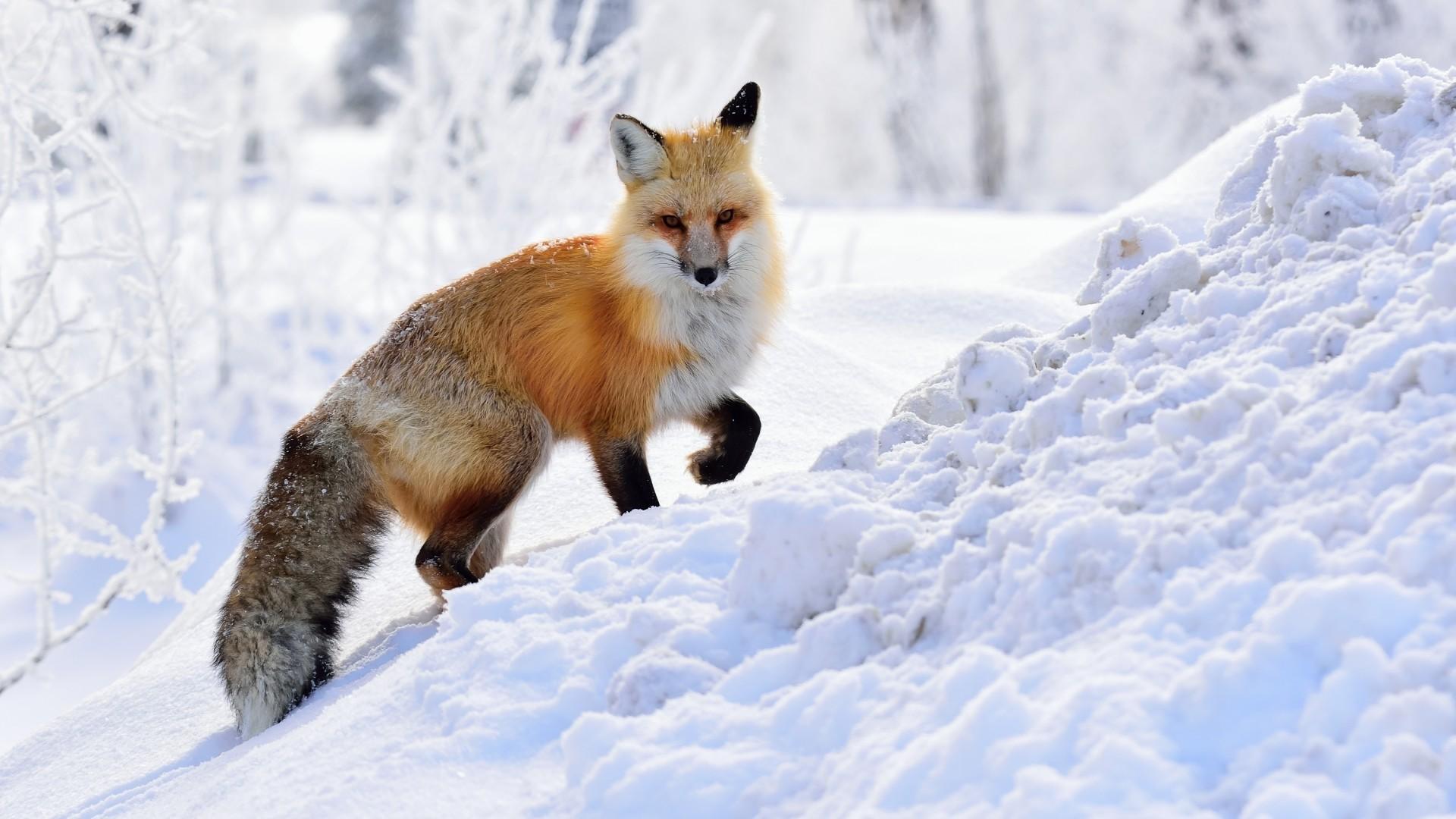 Winter Fox HD Download