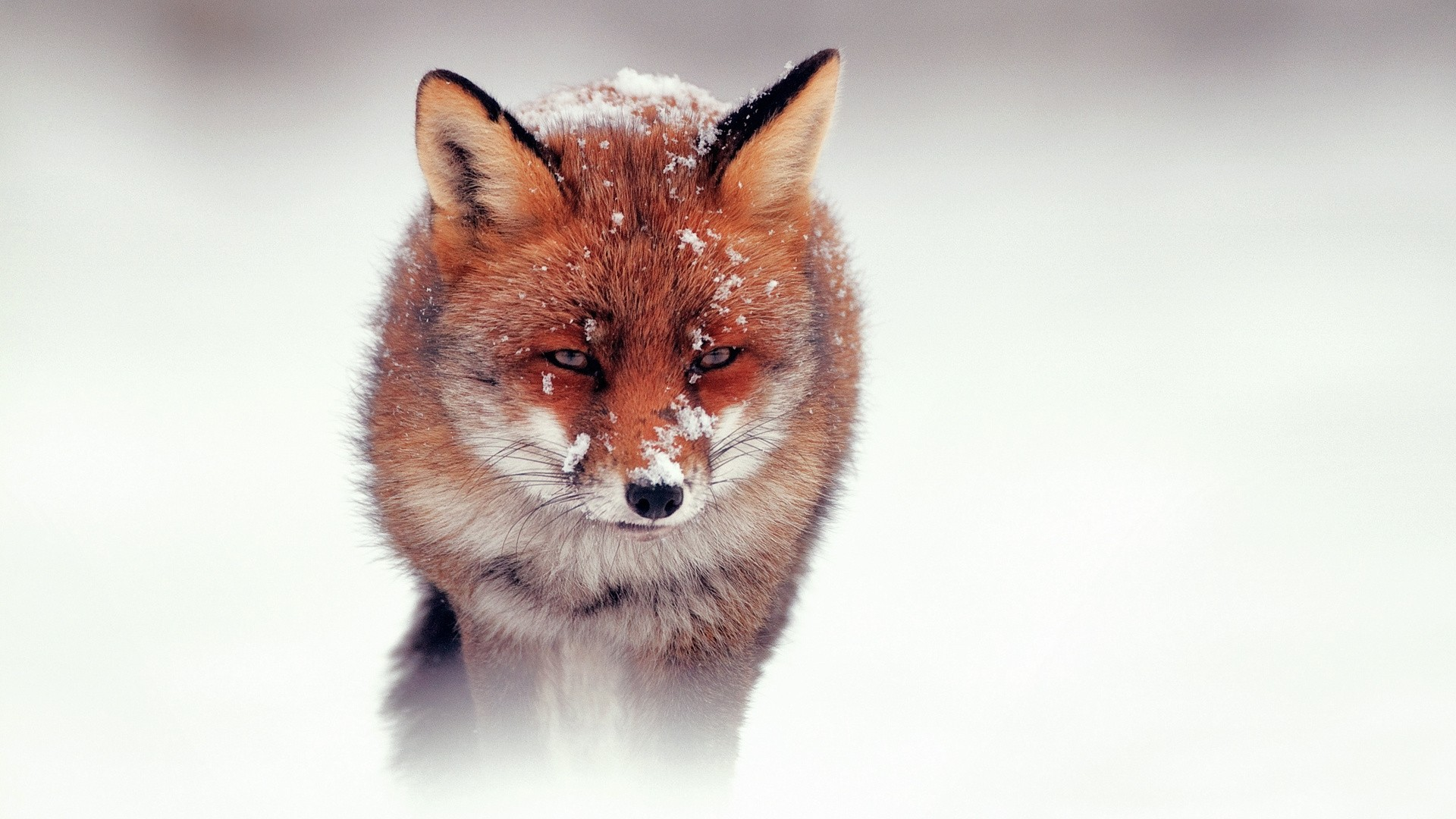 Winter Fox Desktop Wallpaper