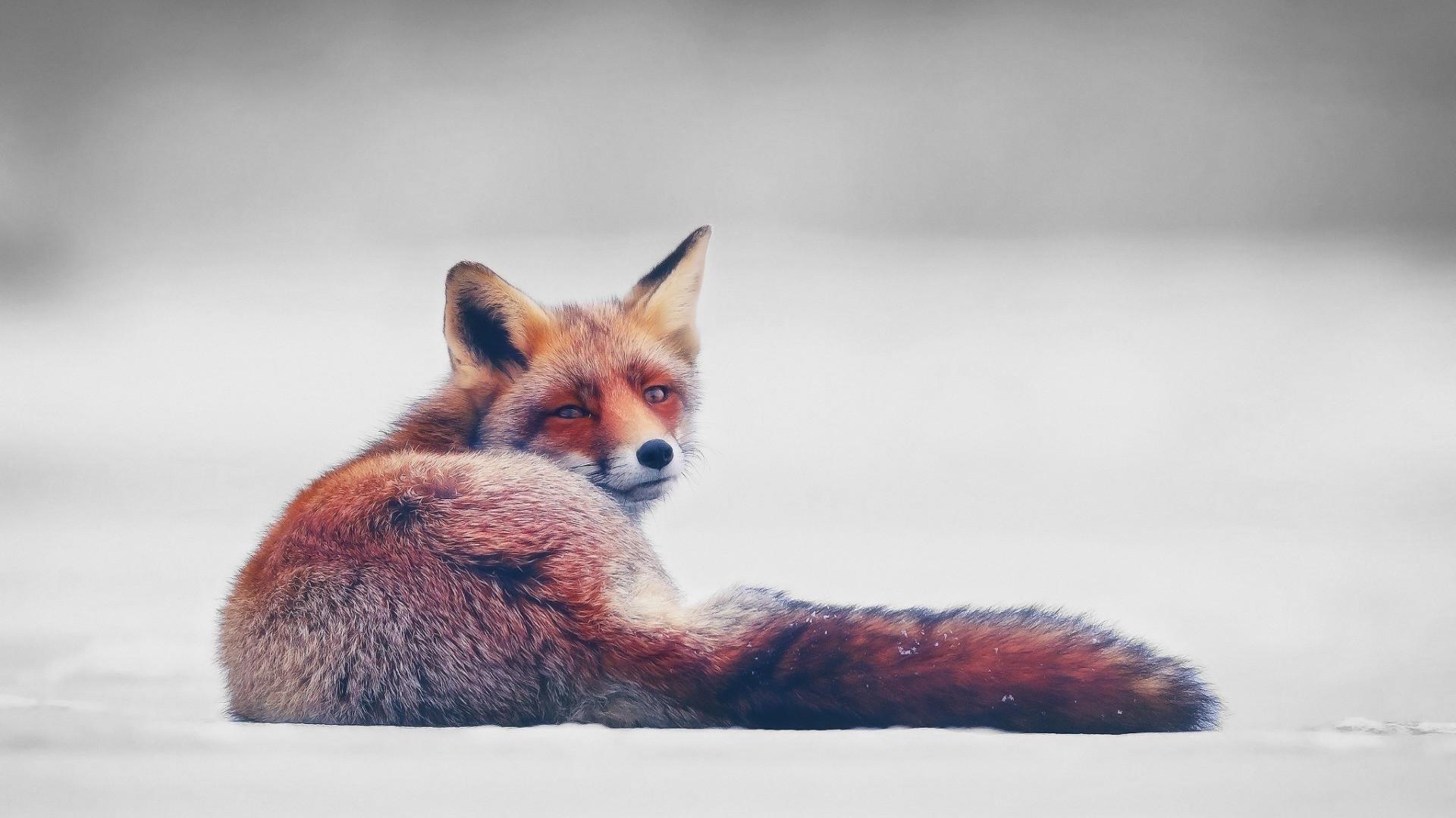 Winter Fox Background