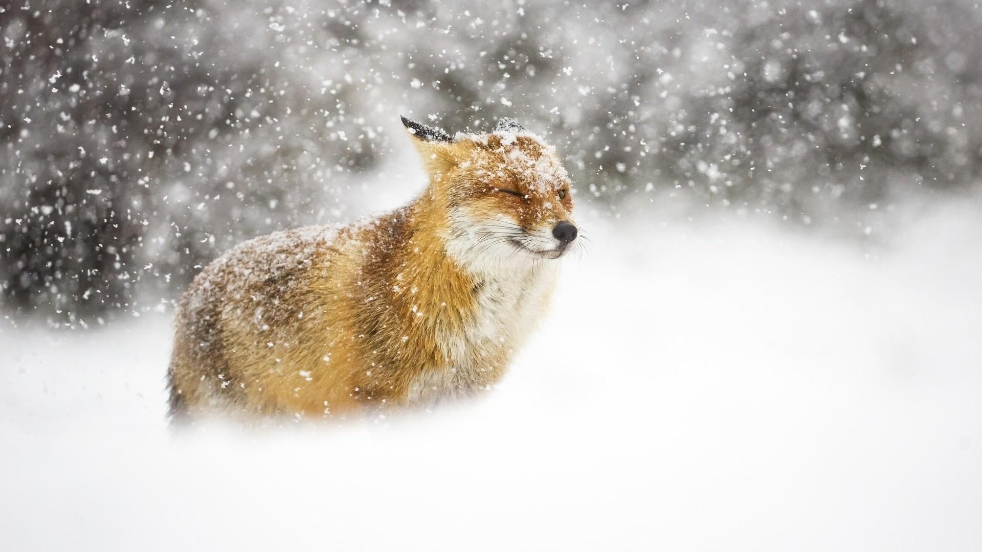 Winter Fox Background Wallpaper