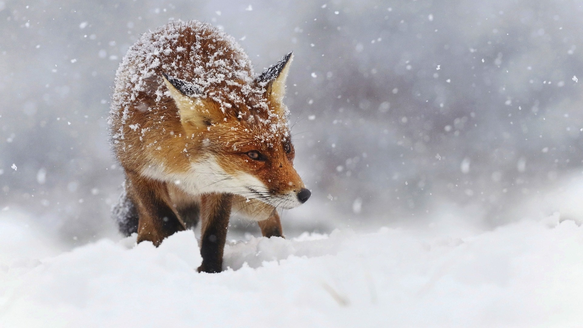 Winter Fox HD Wallpaper