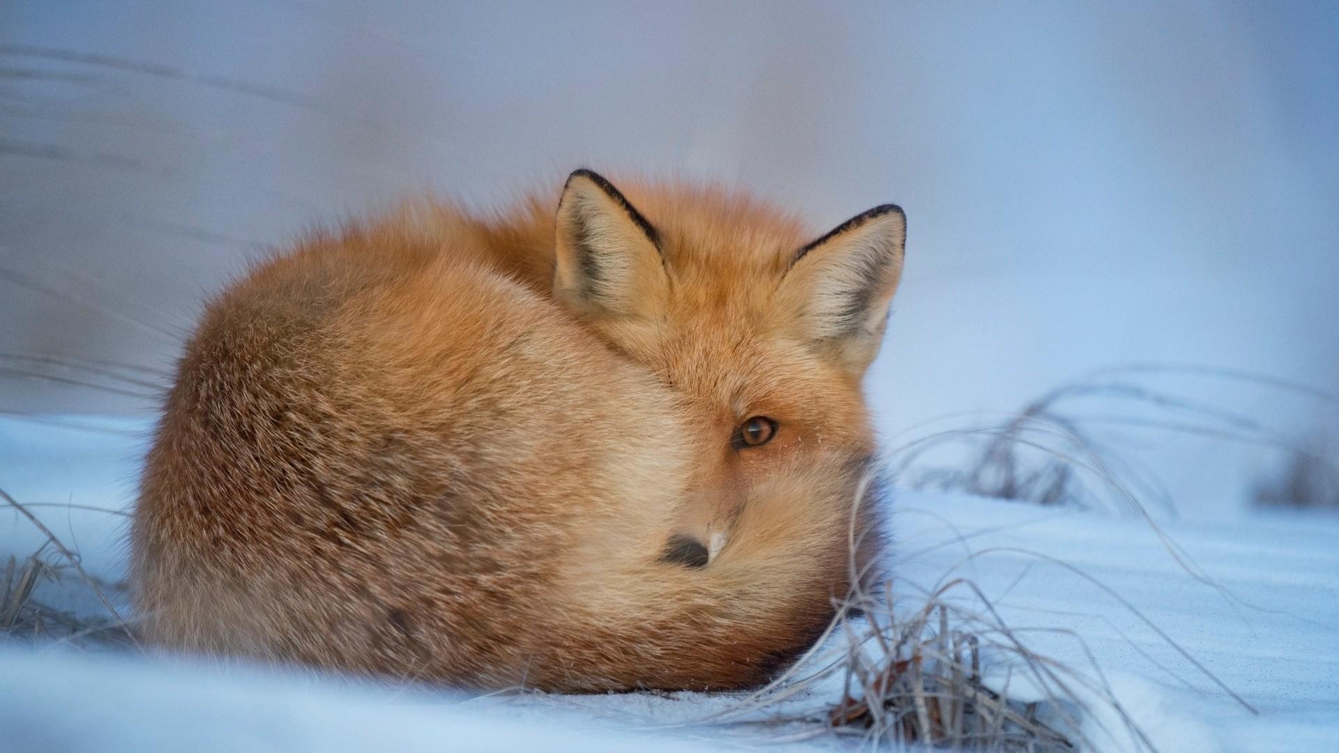 Winter Fox Wallpaper image hd