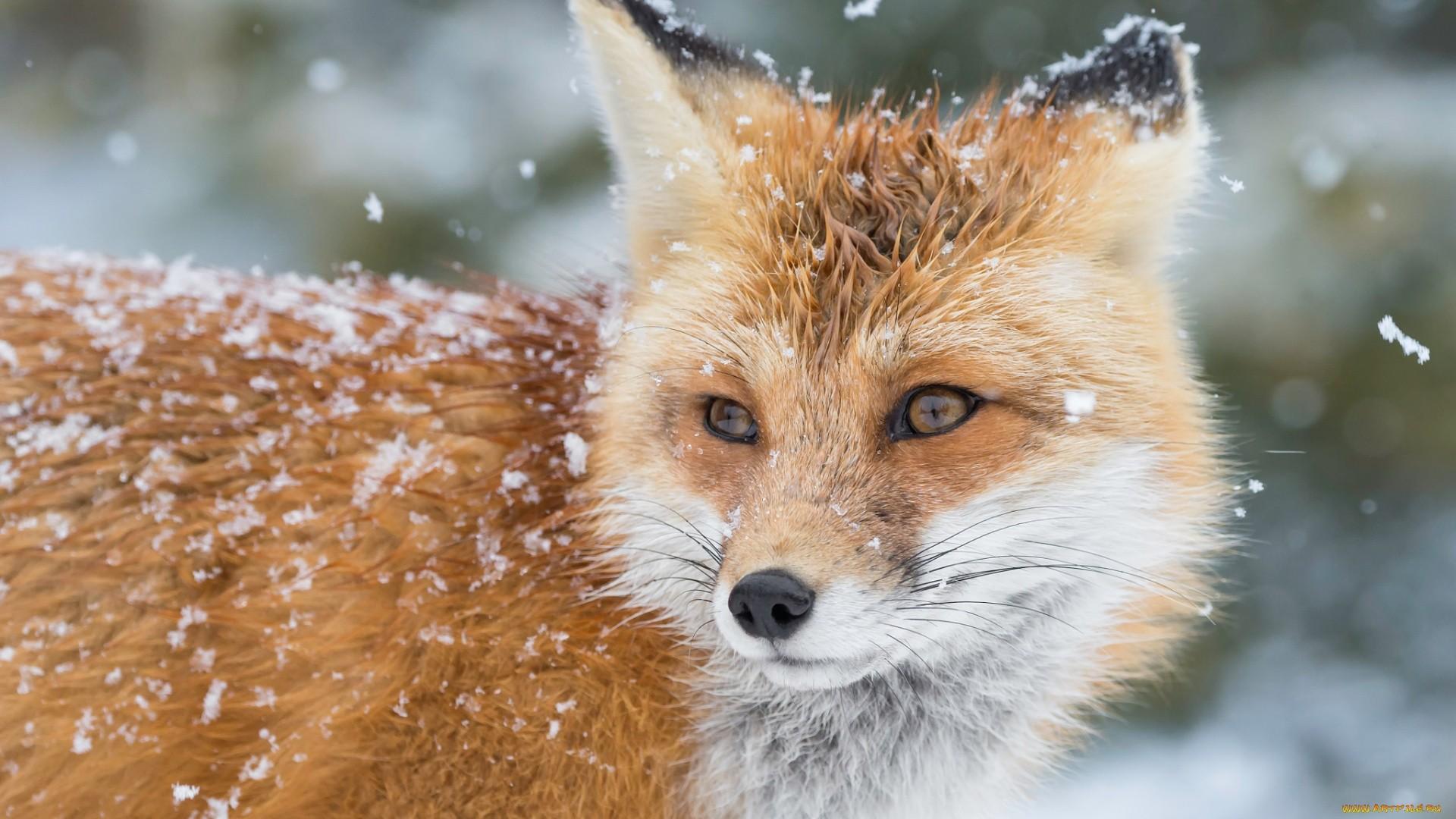 Winter Fox Wallpaper