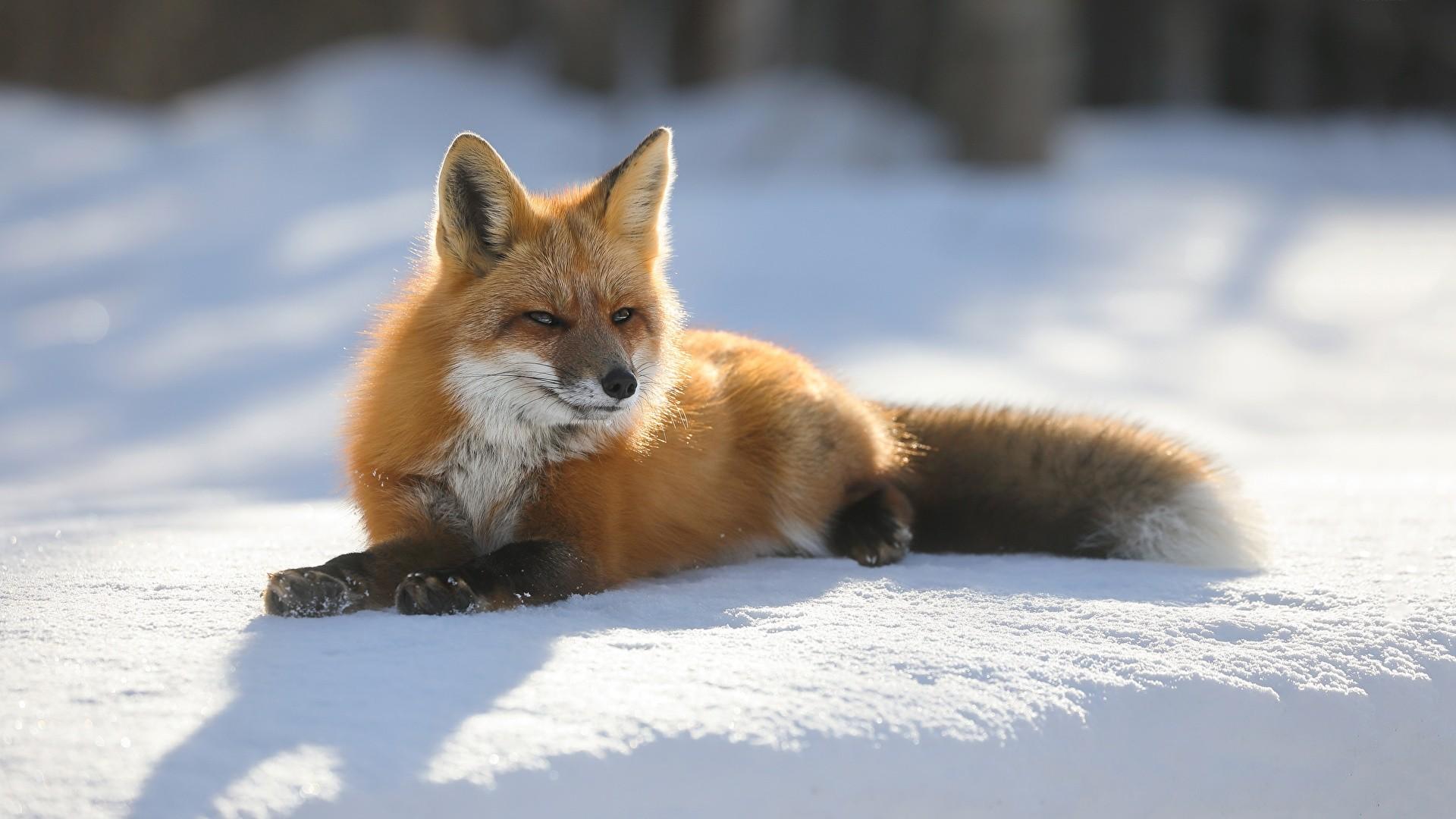 Winter Fox Wallpaper theme