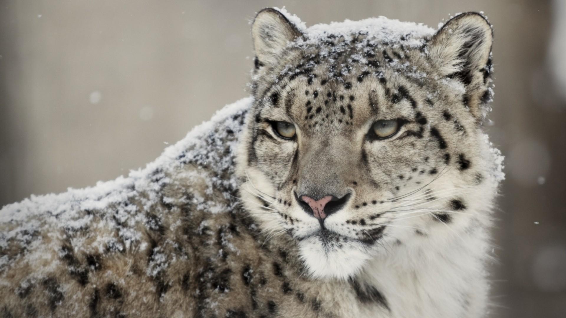 Snow Leopard hd wallpaper download