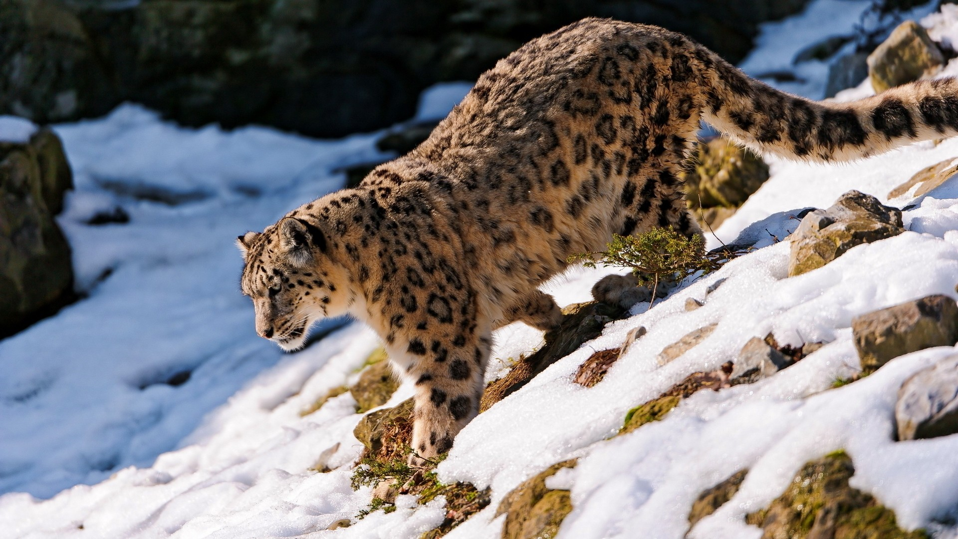 Snow Leopard Desktop wallpaper