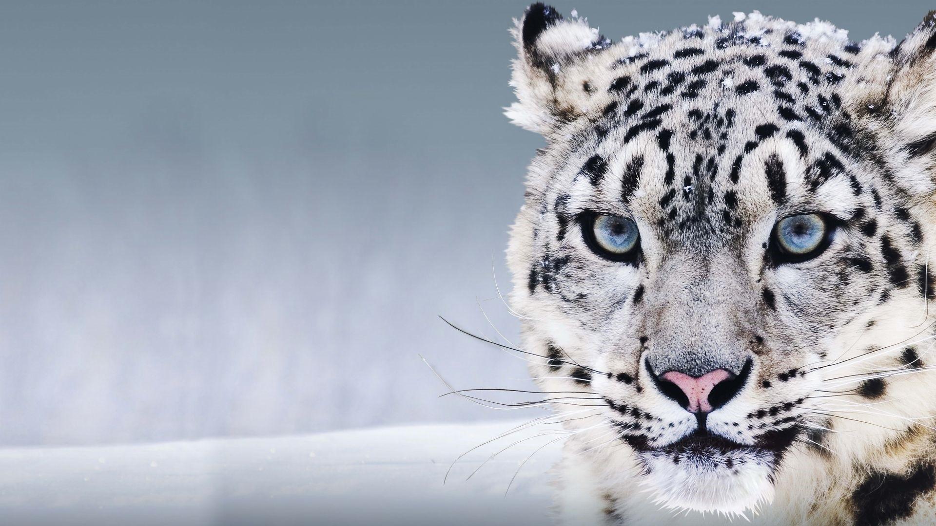 Snow Leopard Full HD Wallpaper