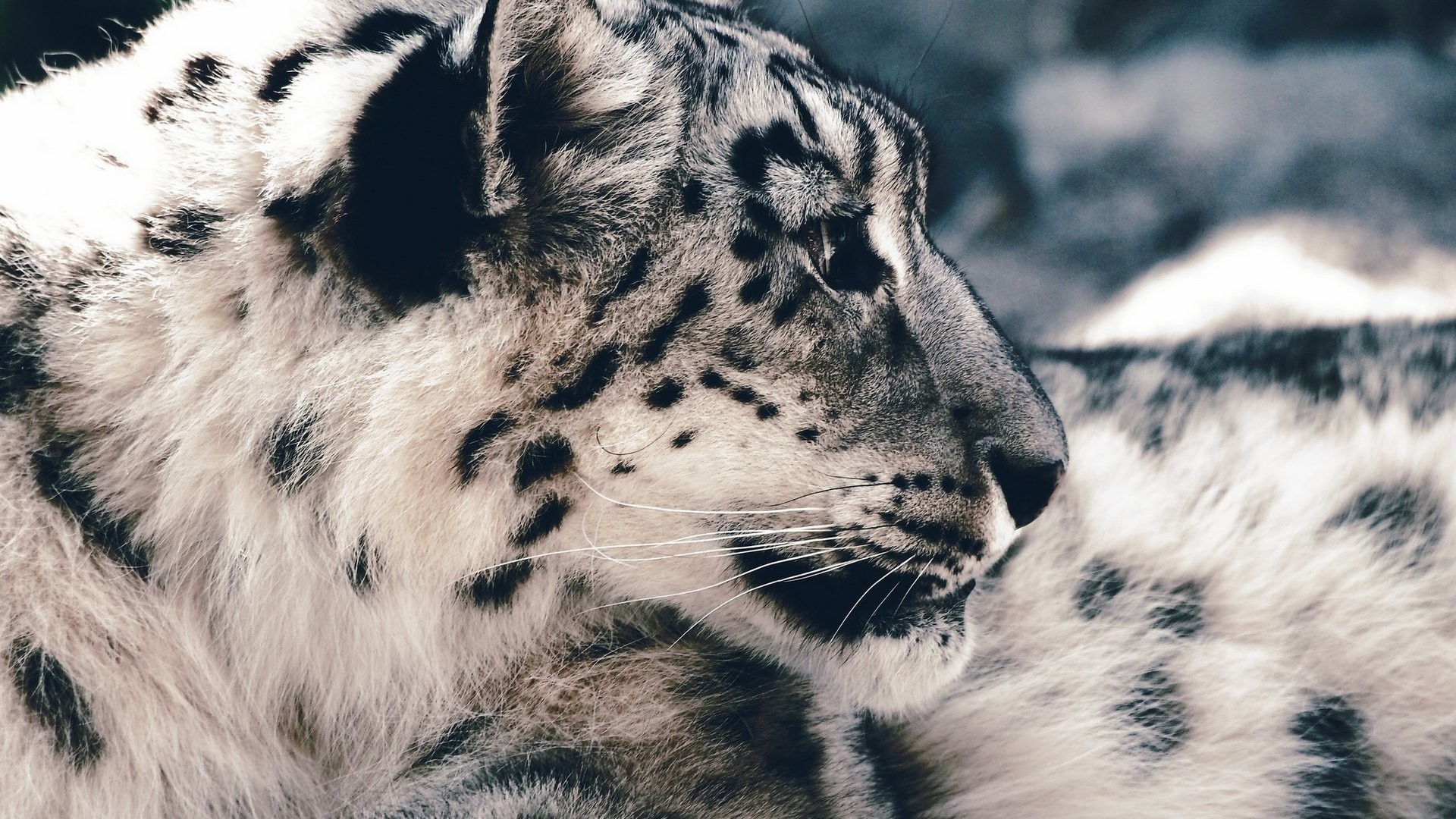 Snow Leopard Free Wallpaper and Background