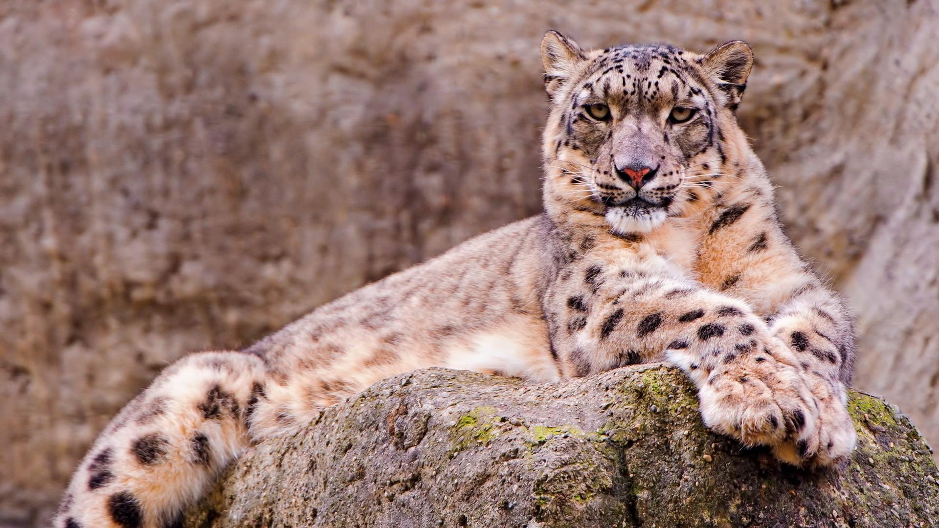 Snow Leopard HD Download
