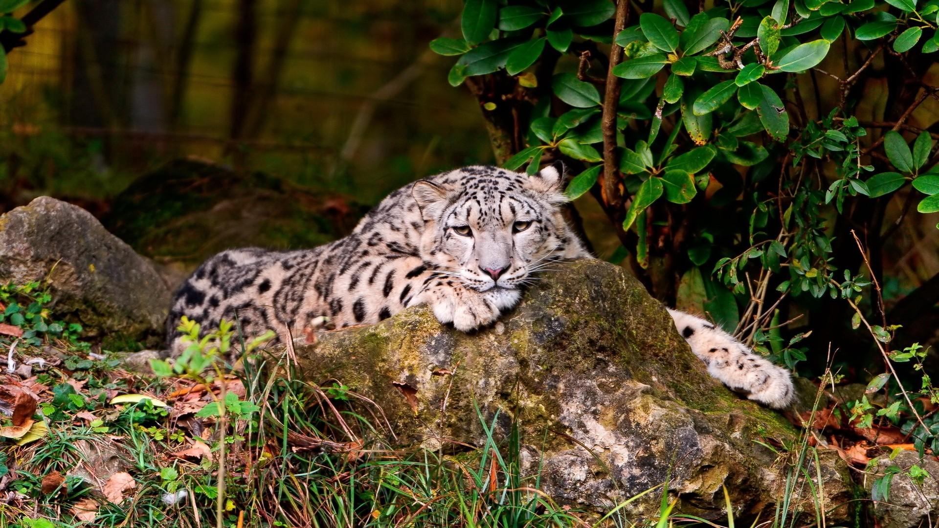 Snow Leopard Pic