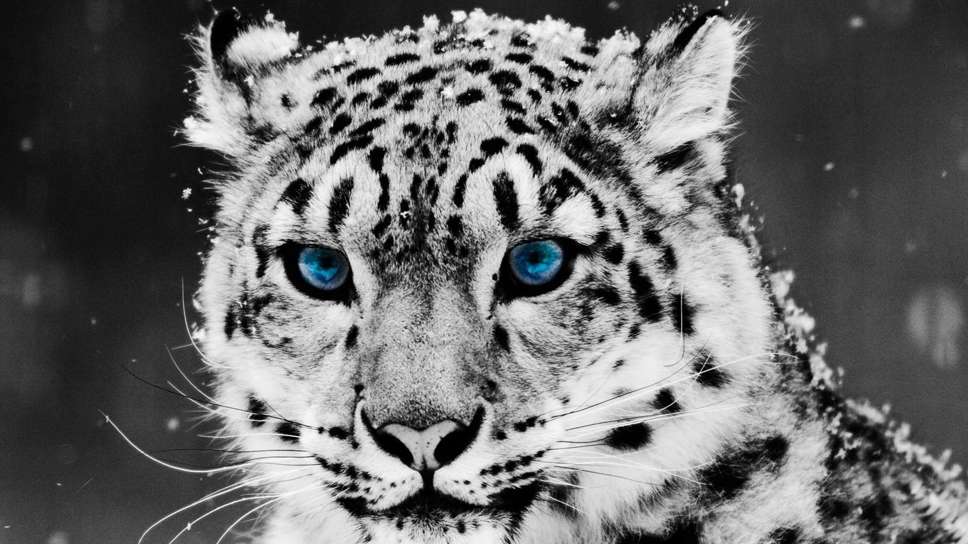 Snow Leopard hd desktop wallpaper