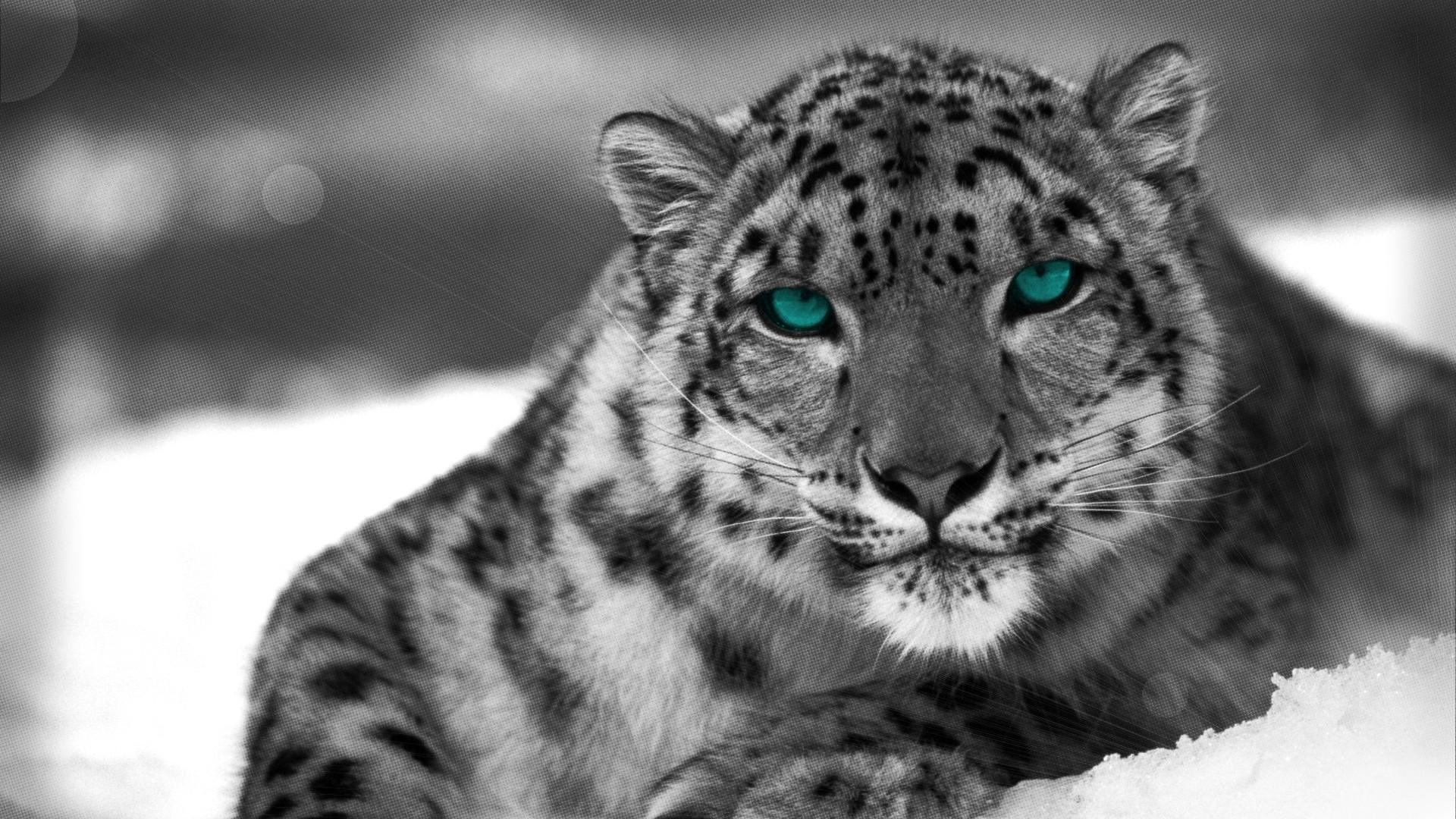 Snow Leopard HD Wallpaper