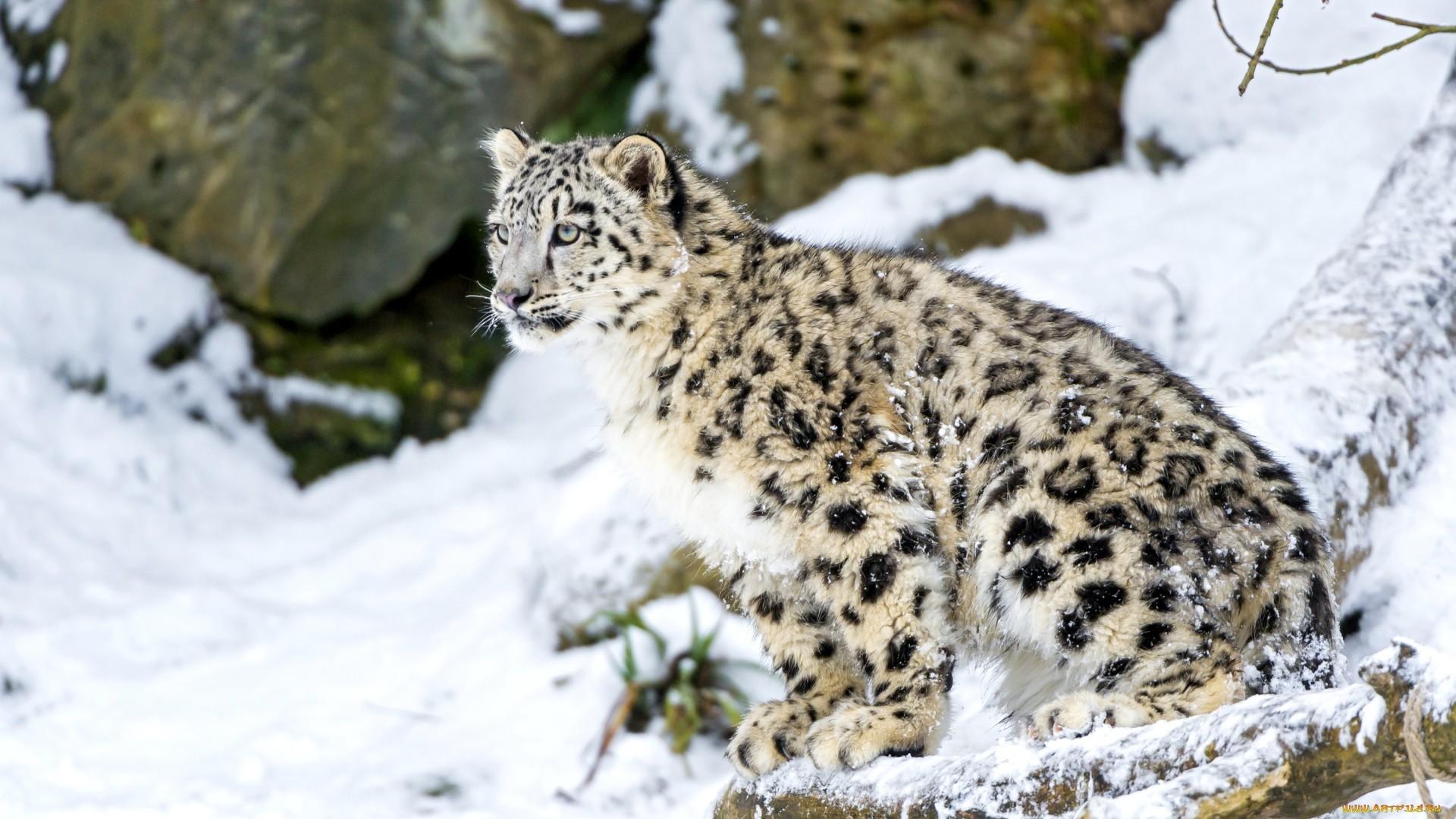 Snow Leopard Background Wallpaper