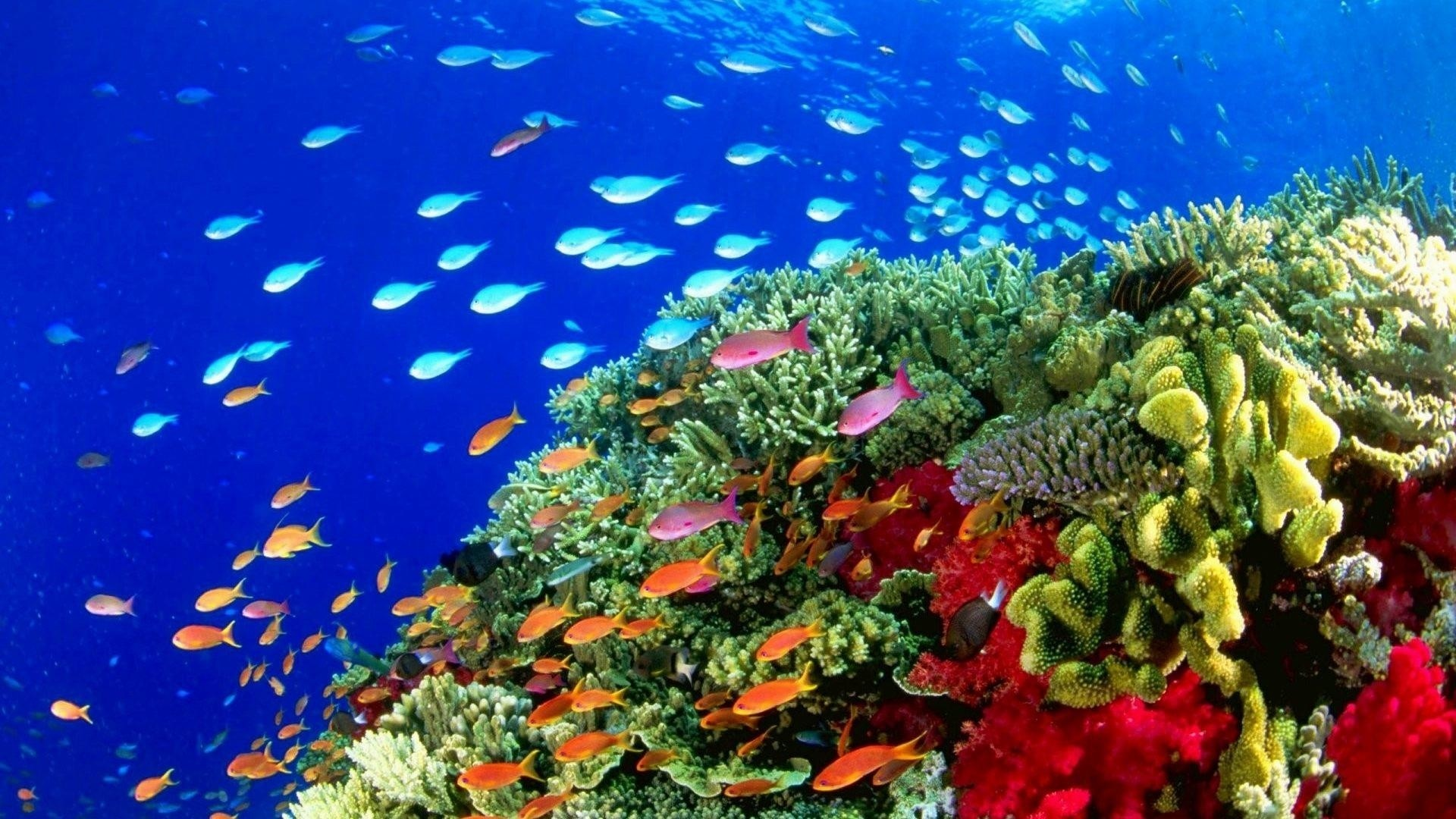 Coral Reef Wallpaper for pc