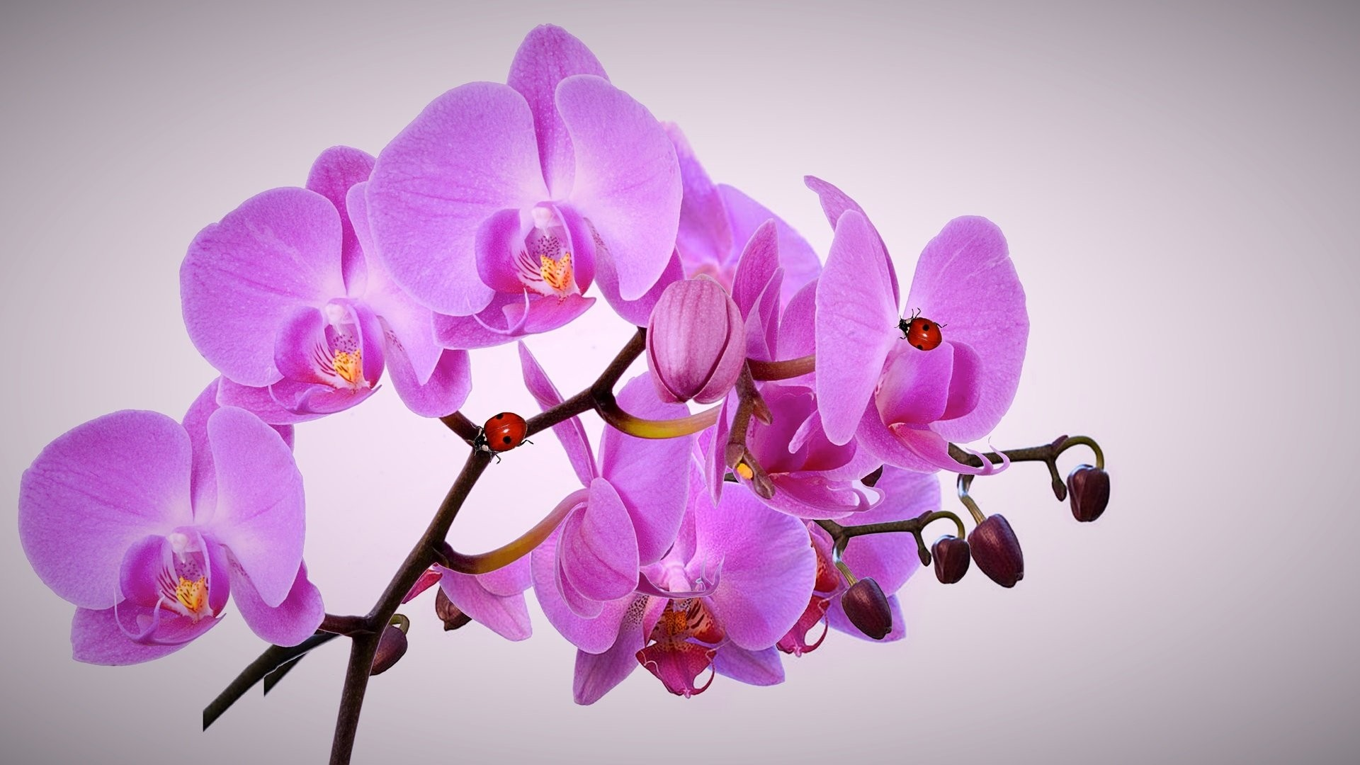 Orchid Wallpaper Picture hd