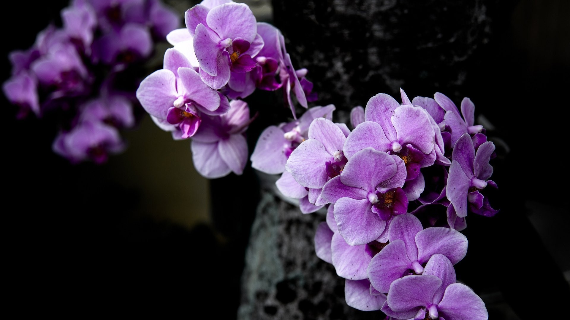 Orchid HD Wallpaper