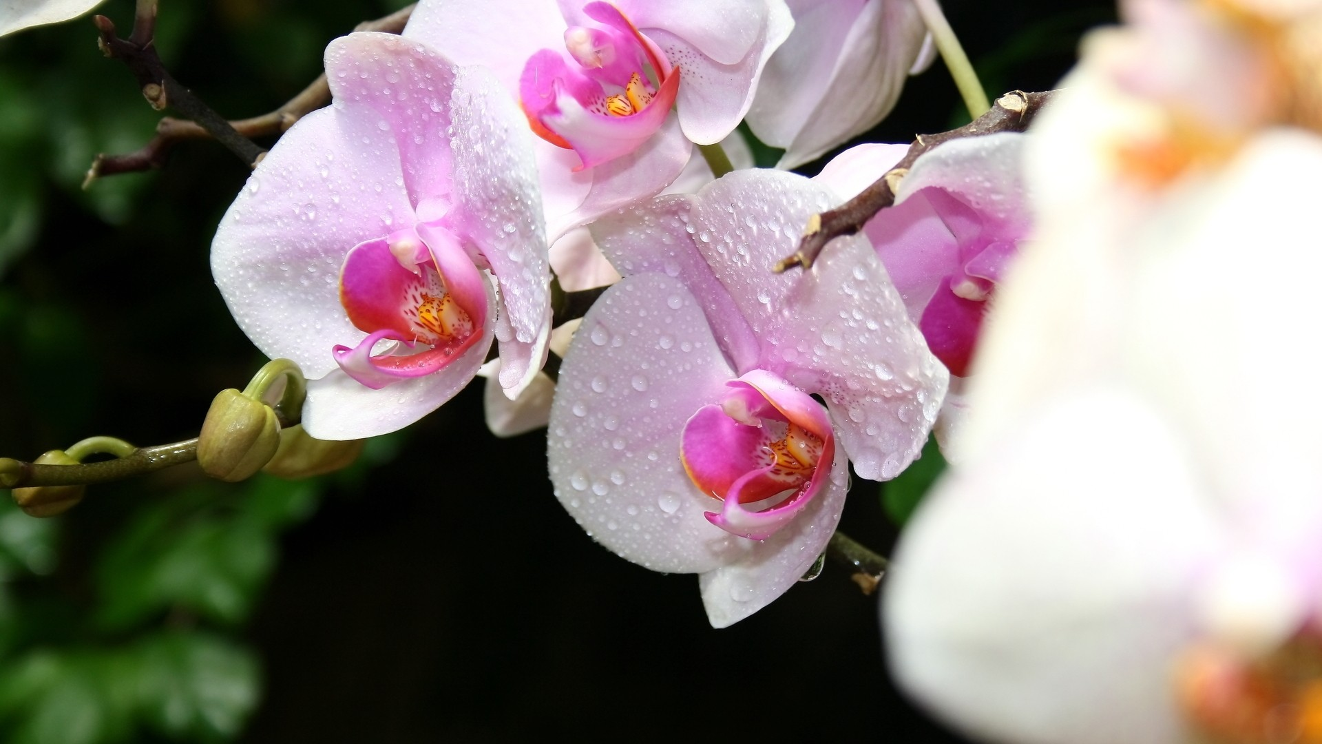 Orchid hd wallpaper download