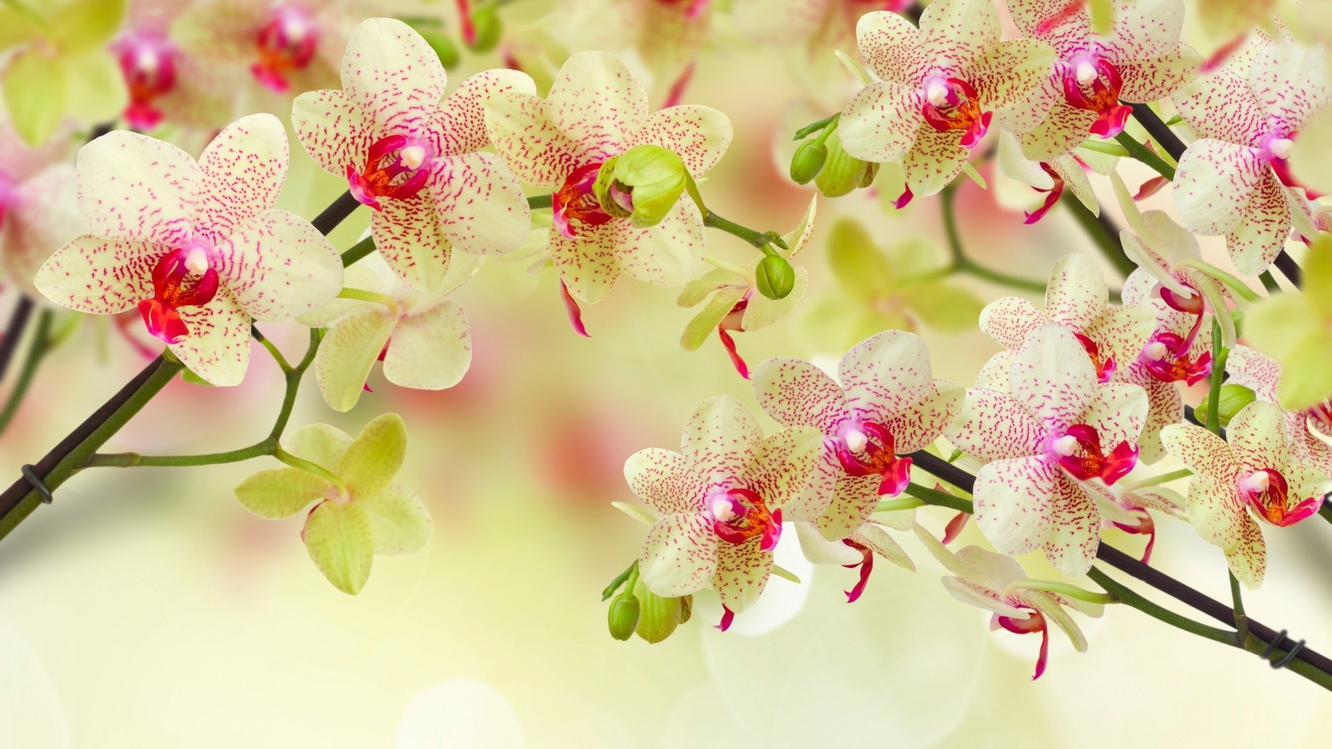 Orchid Free Wallpaper and Background