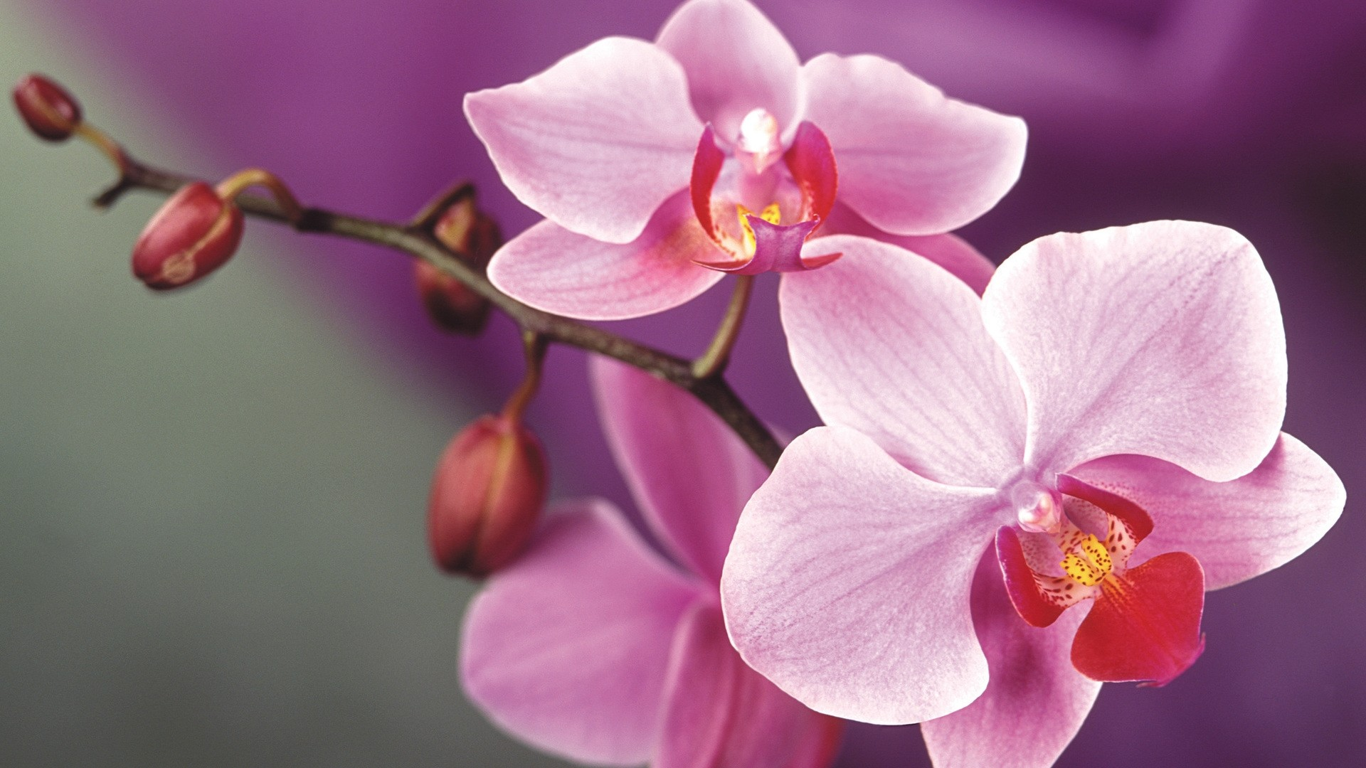 Orchid computer wallpaper