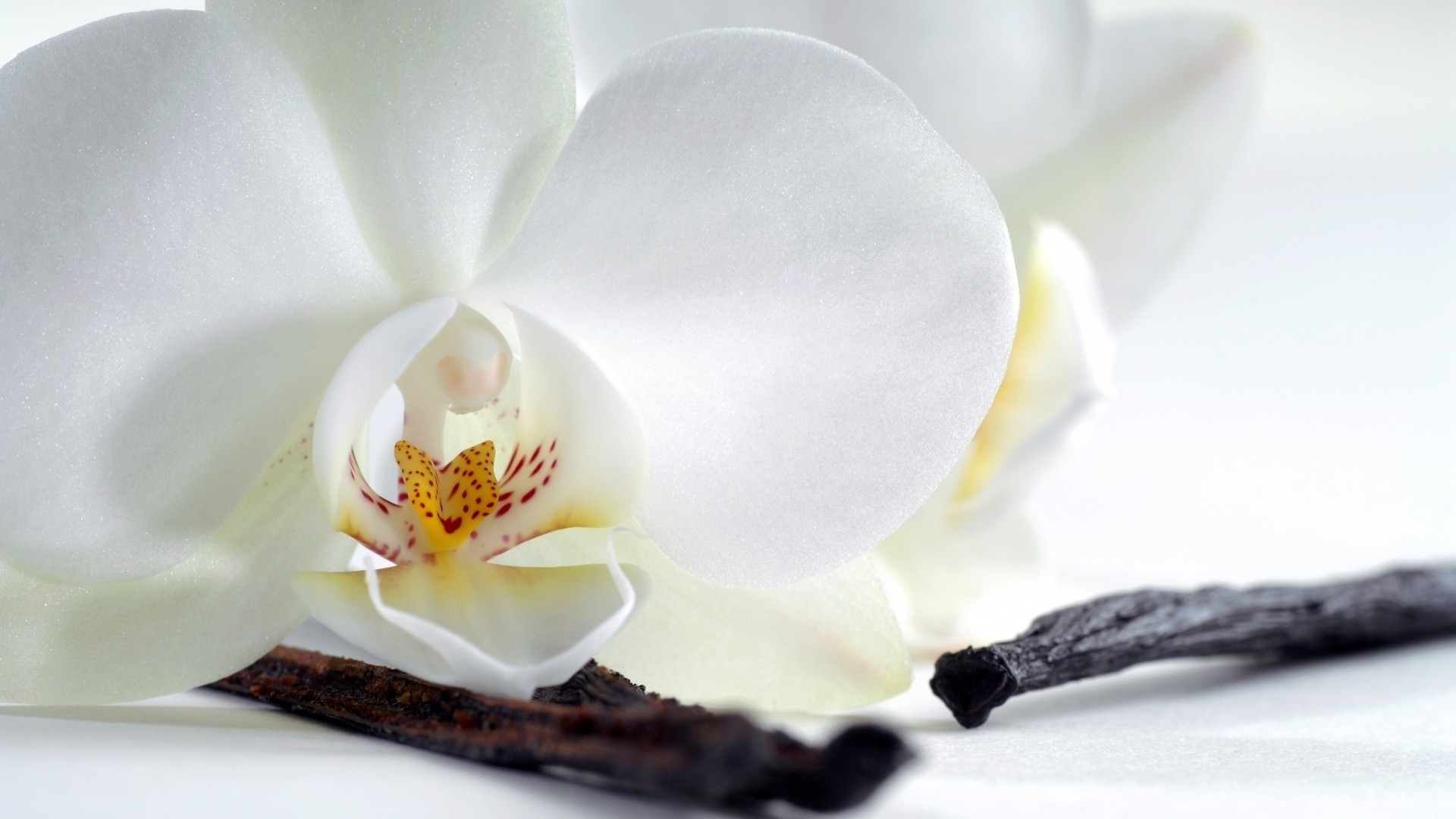 Orchid Free Wallpaper