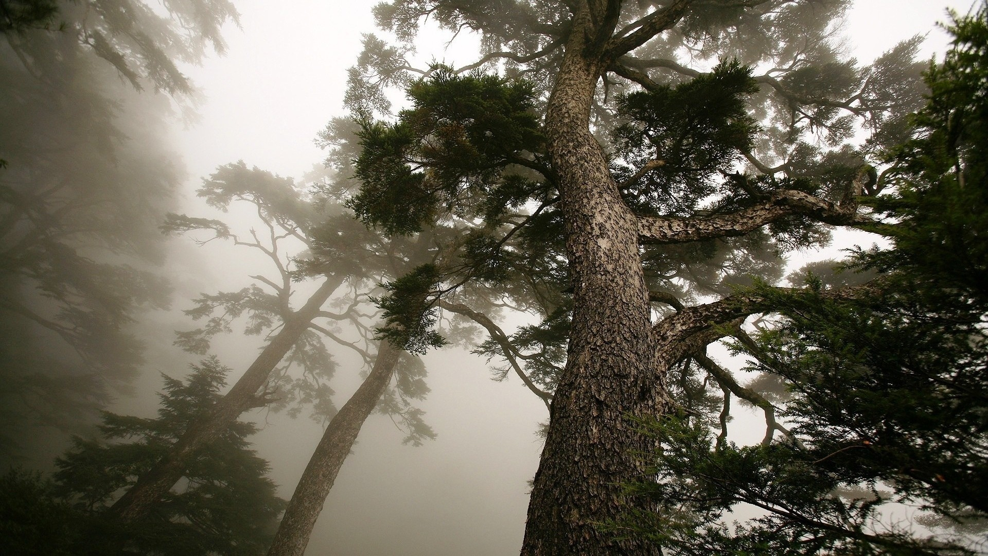 Pine Tree Free Wallpaper