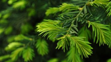 Pine Tree hd desktop wallpaper