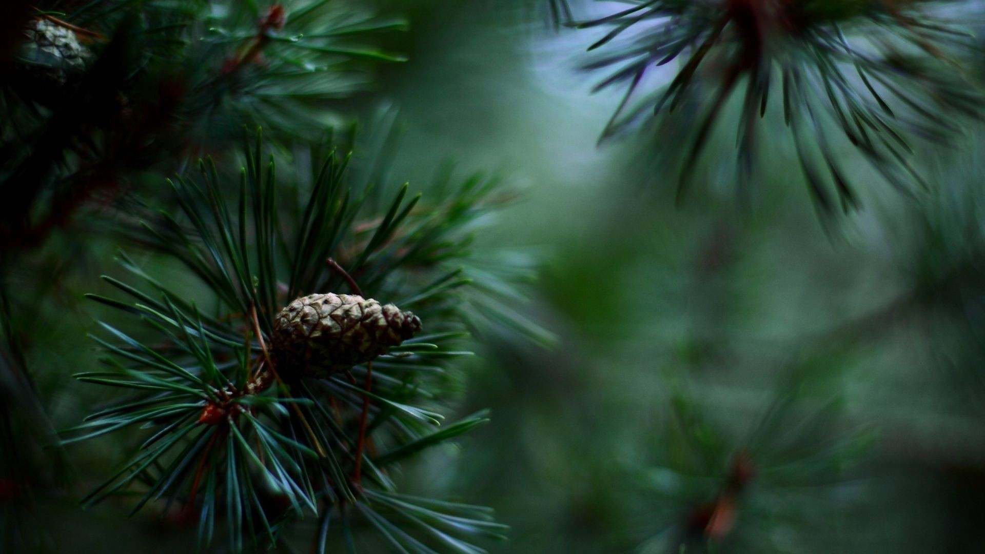 Pine Tree Download Wallpaper